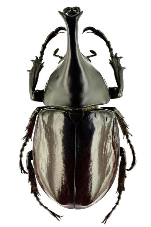 Xylotrupes gideon philippinensis 67088zs98.jpg