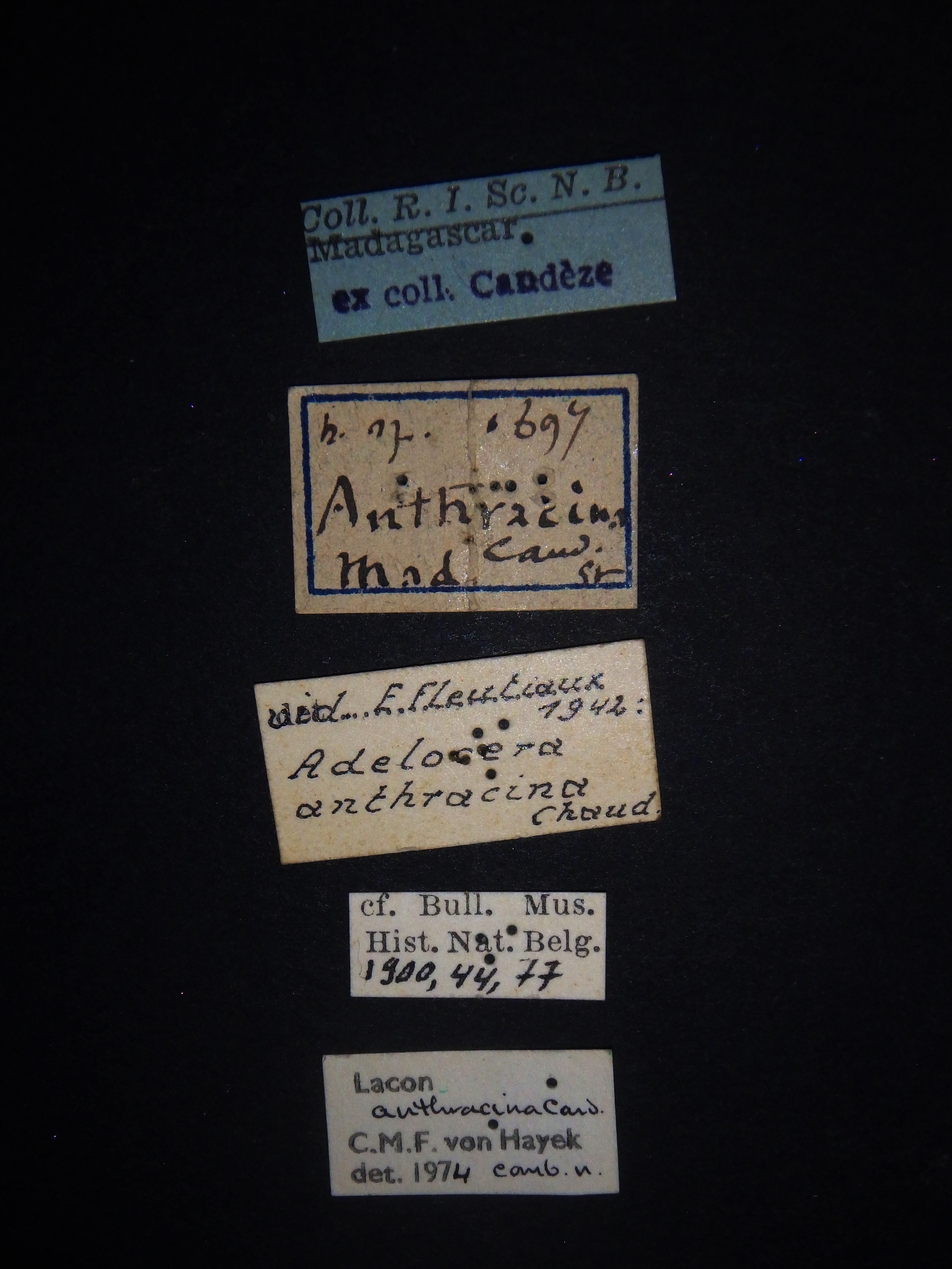 Adelocera anthracina Labels.JPG