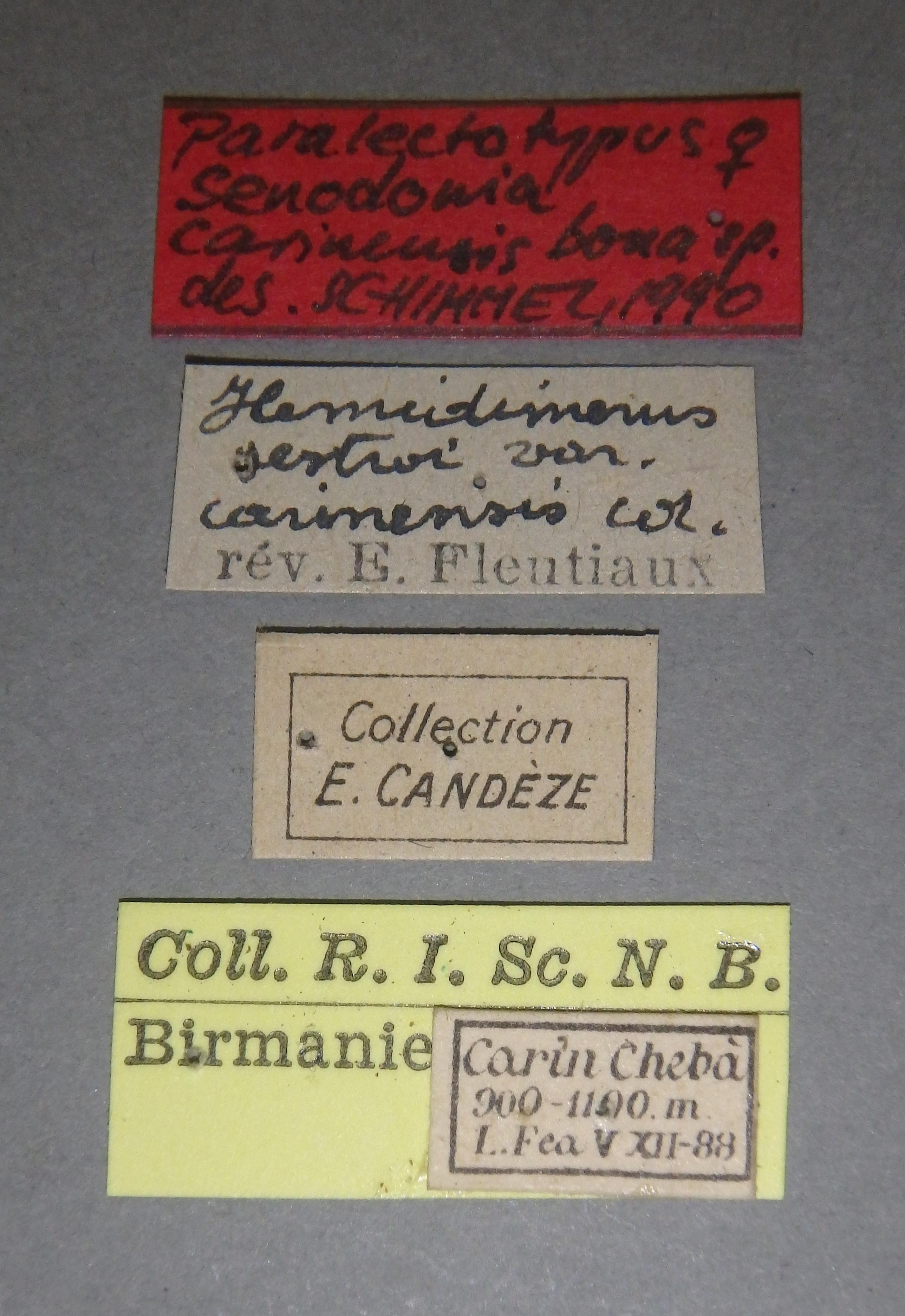 Adelocera carinensis plt4 F Lb.JPG