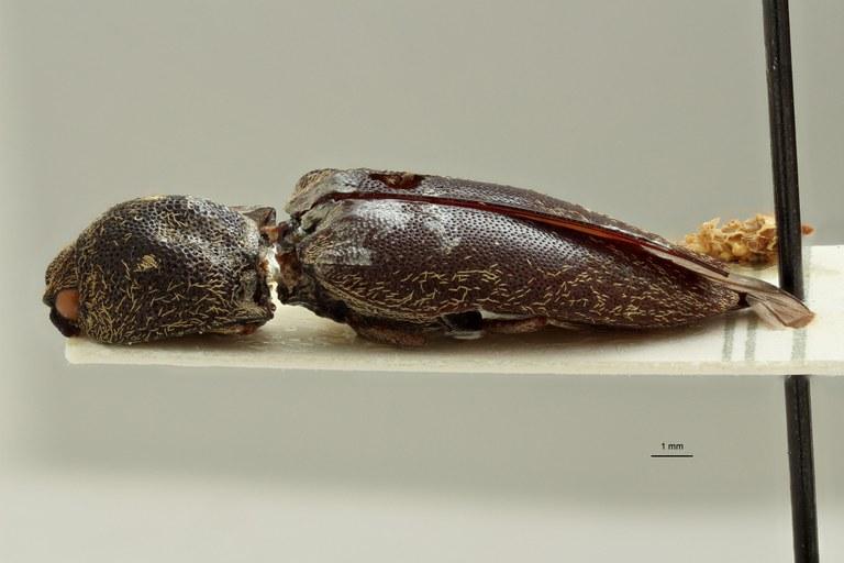 Aldocera foveata F ht L.jpg