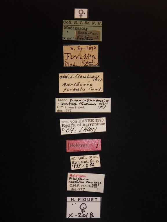 Aldocera foveata F ht Labels.JPG