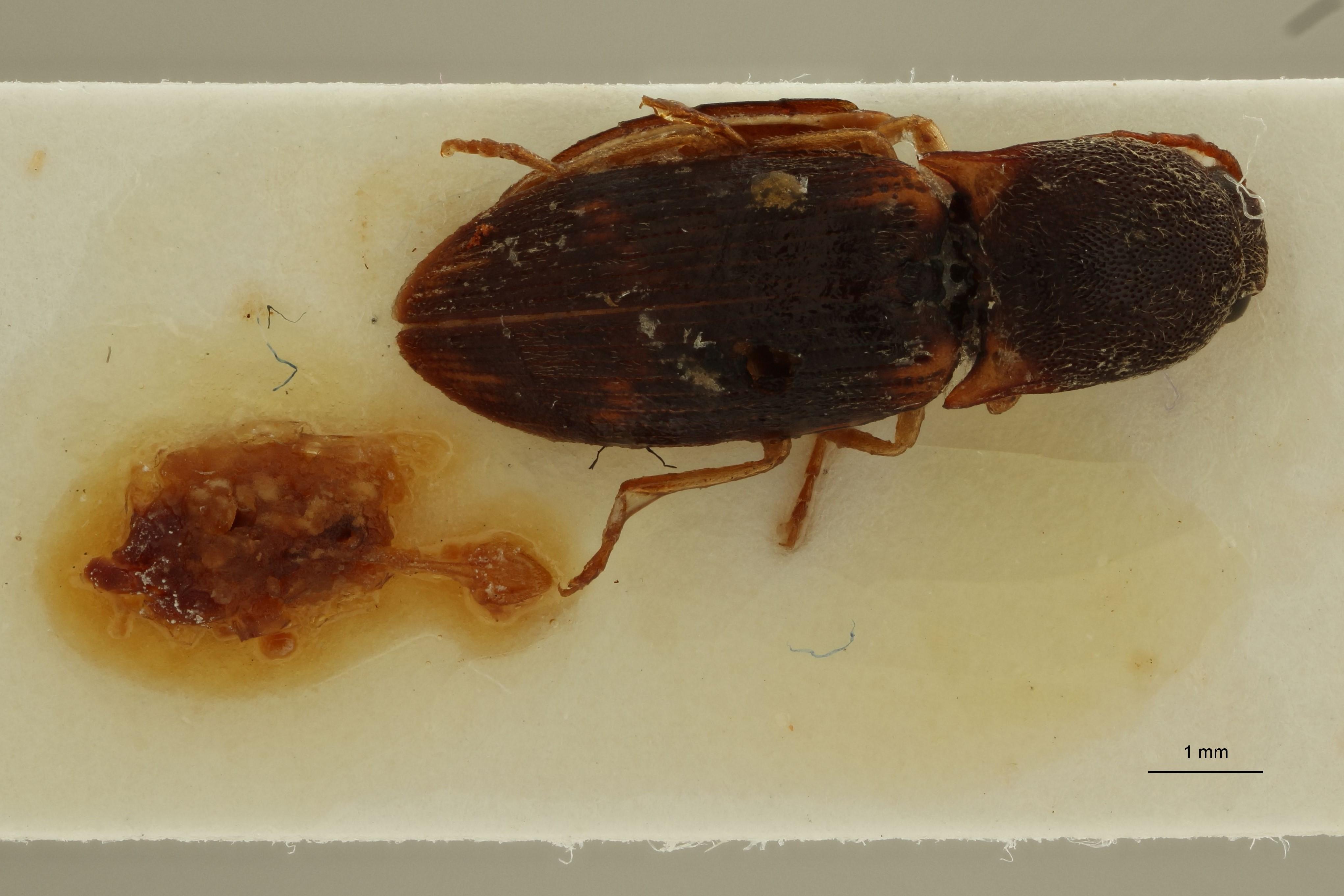 Aeolus madagascariensis F ext D.jpg
