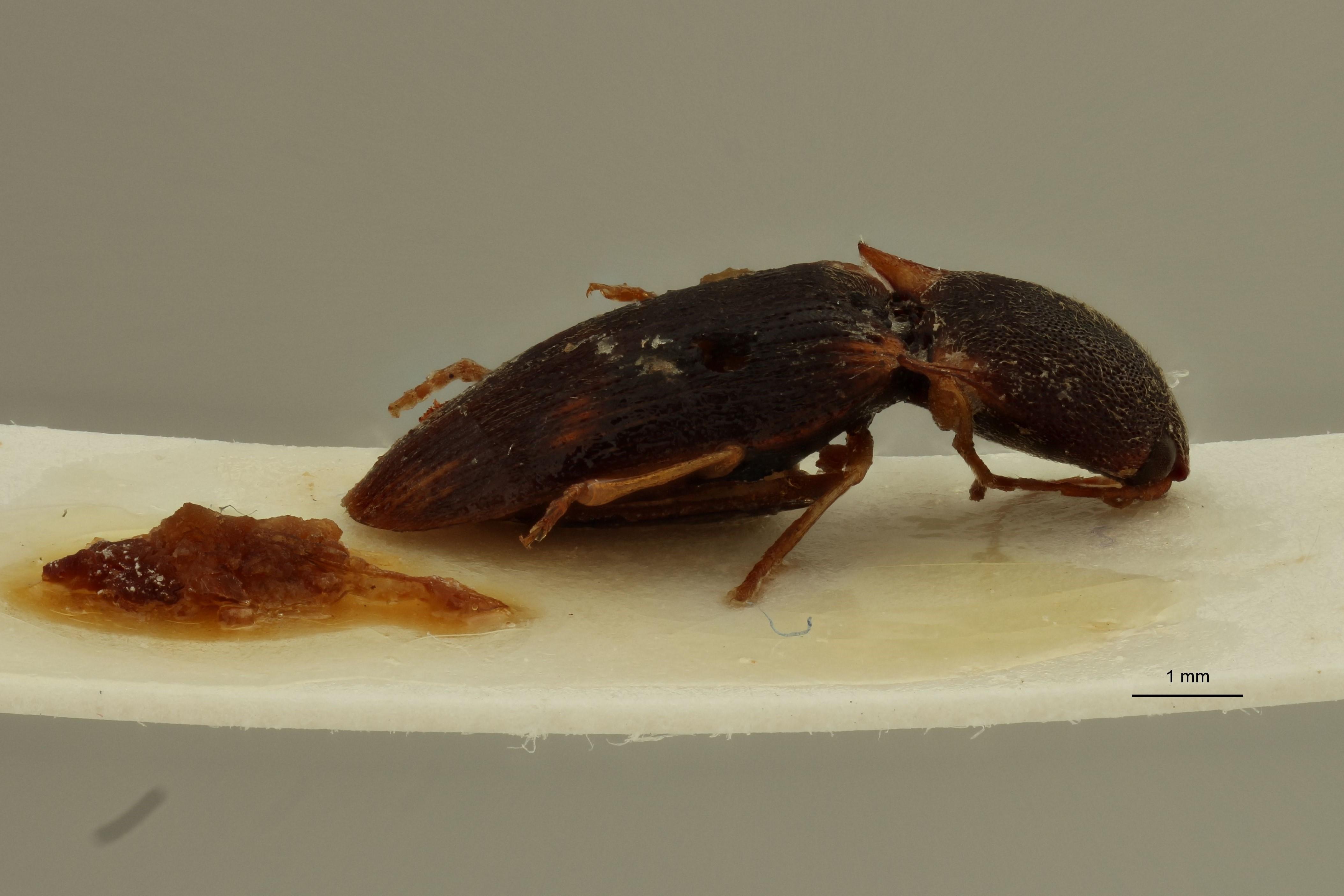 Aeolus madagascariensis F ext L.jpg