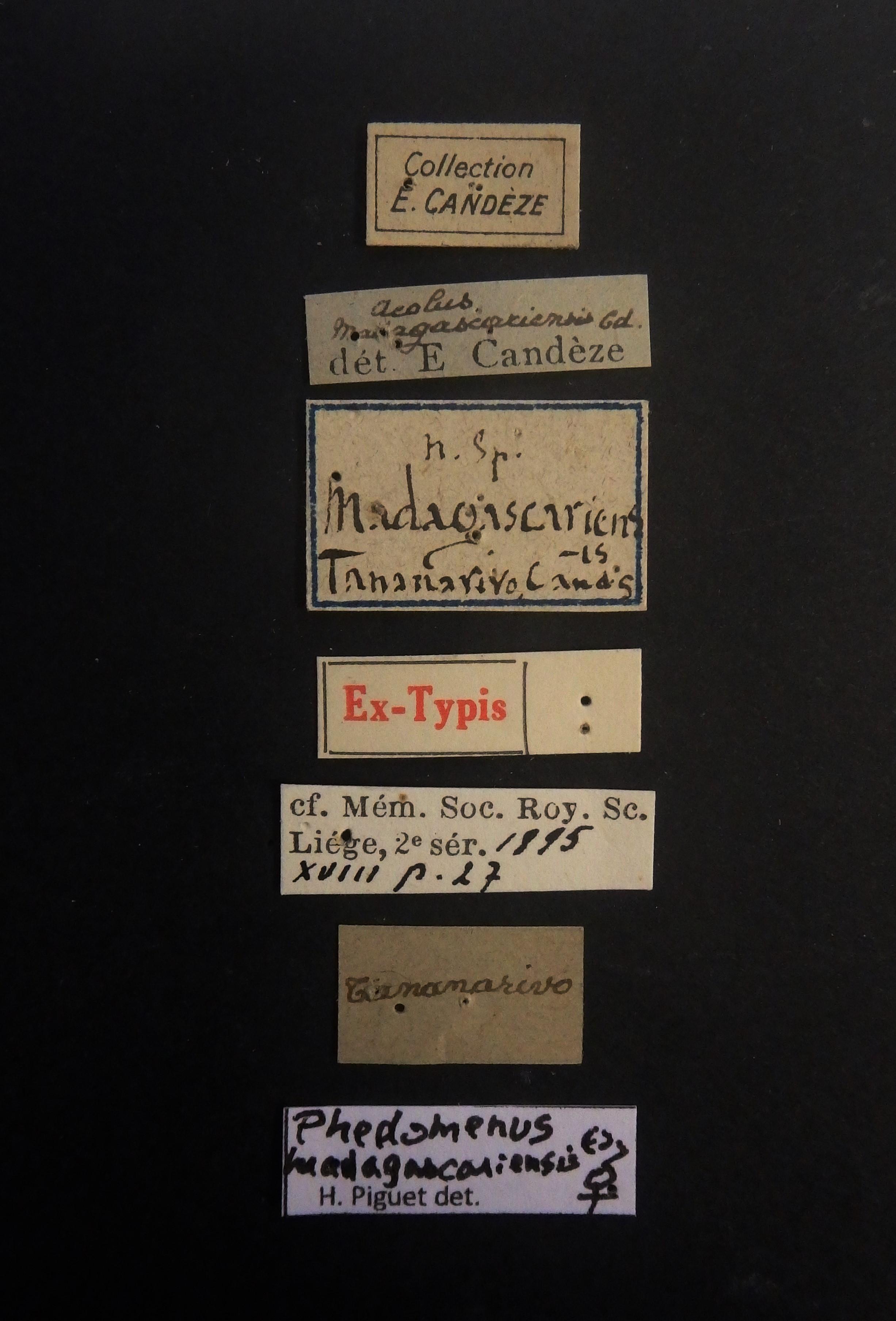Aeolus madagascariensis F ext Labels.JPG