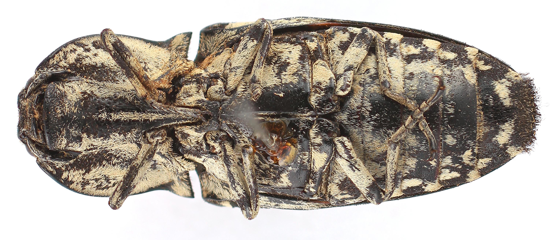 BE-RBINS-ENT Alaus sculptus Type Female Ventral Jerome Constant.jpg