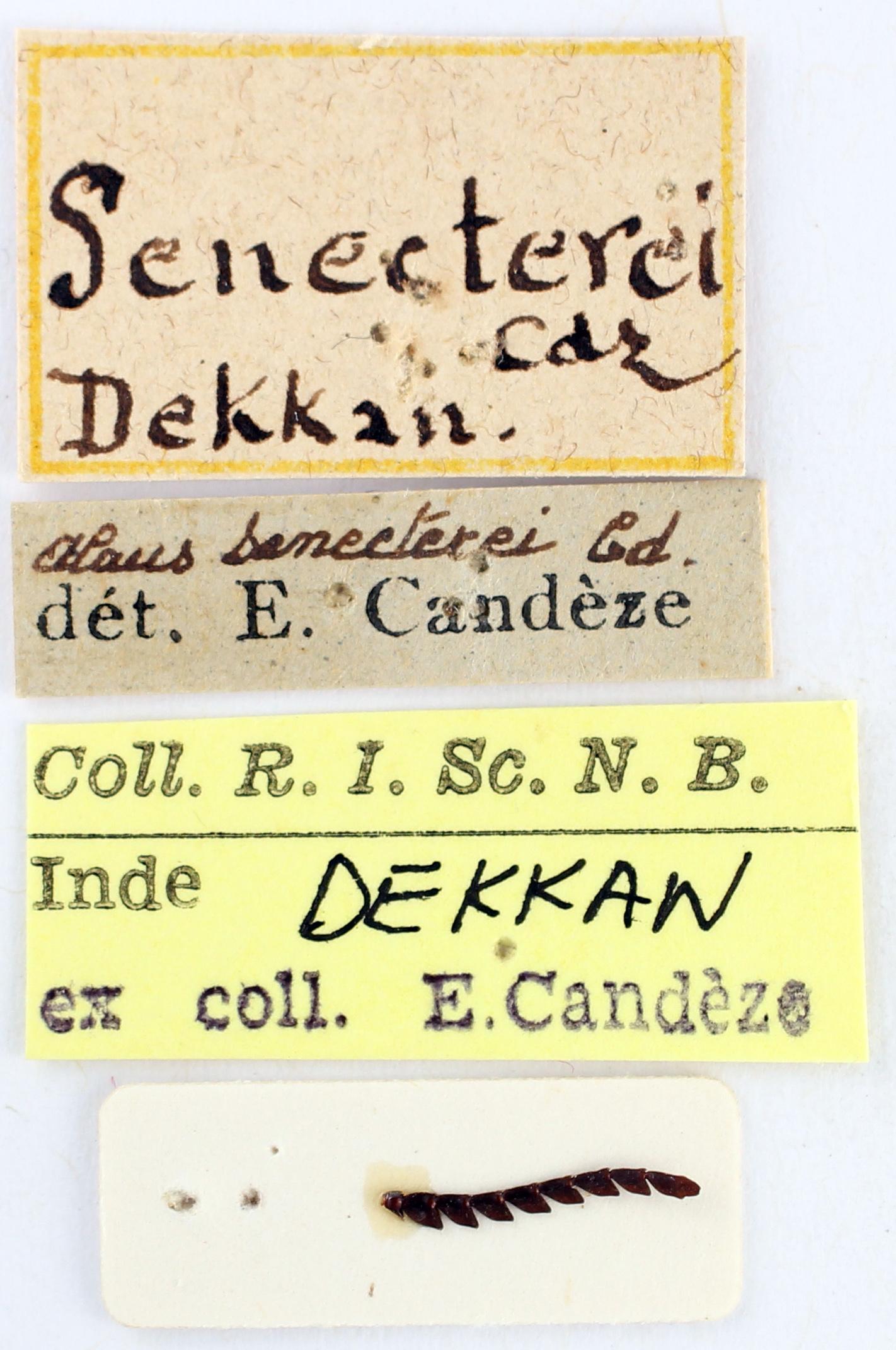BE-RBINS-ENT Alaus senecterei Type Labels Jerome Constant.JPG