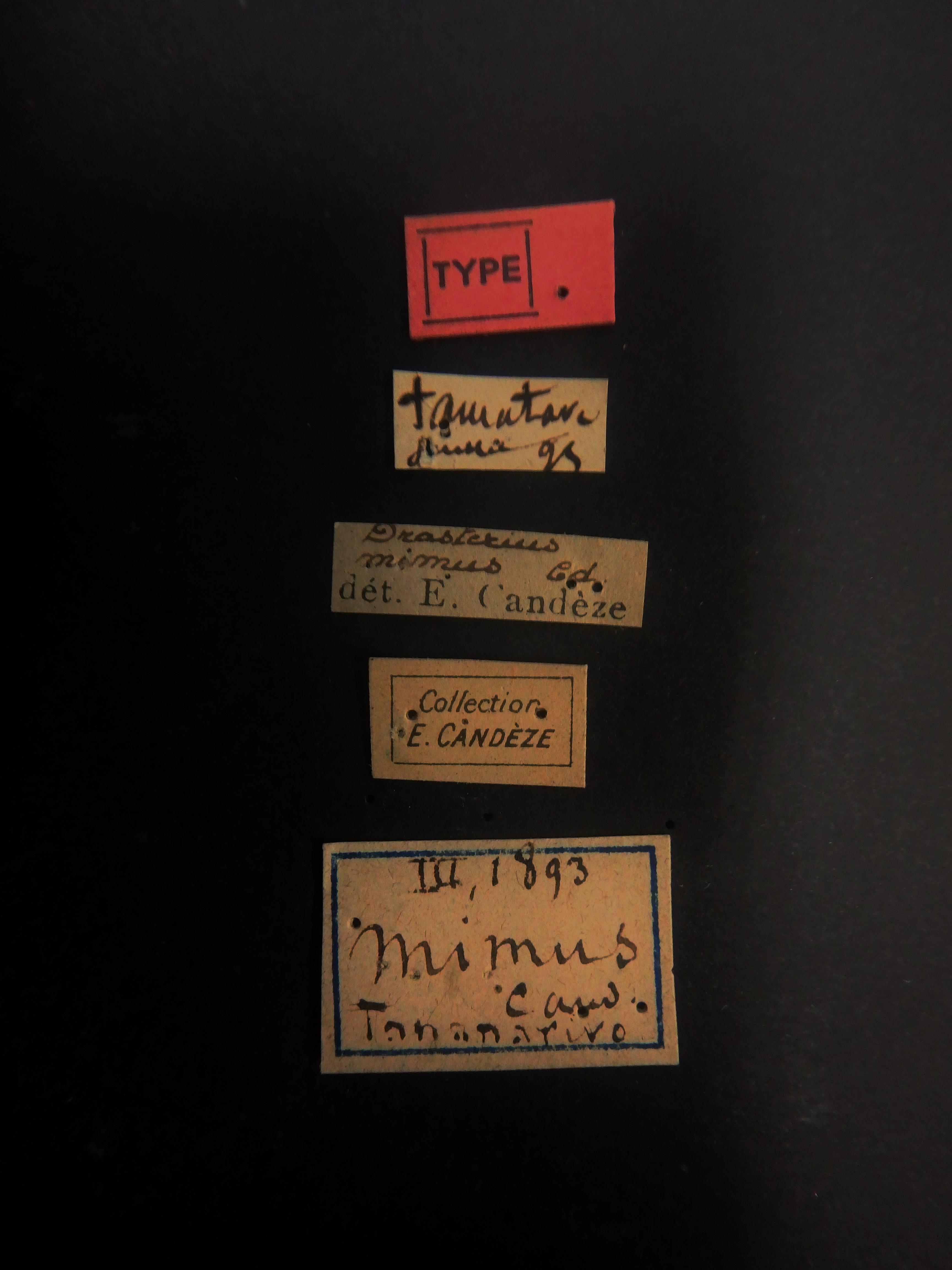 Drasterius mimus t Labels.JPG