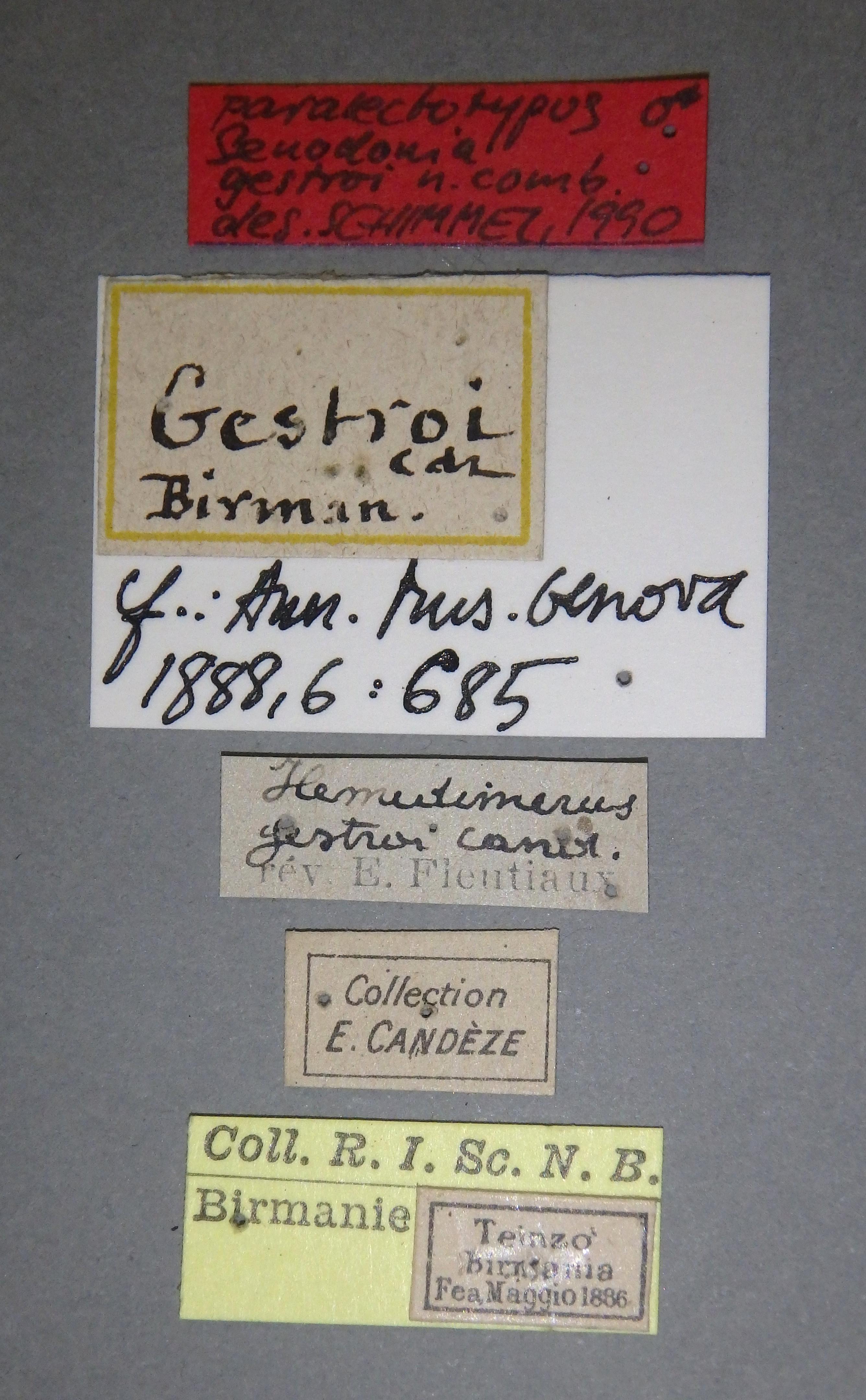 Hemiolimerus gestroi plt1 M Lb.JPG