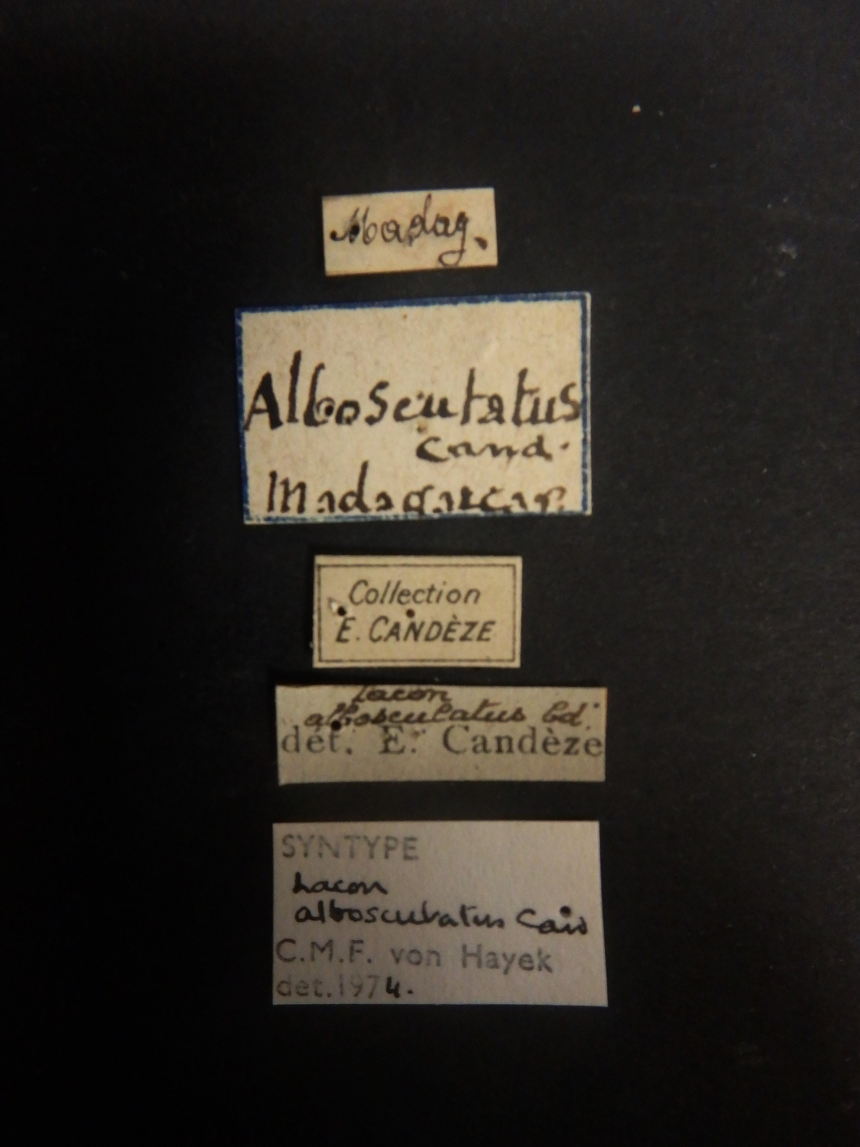 Lacon alboscutatus st Labels.JPG