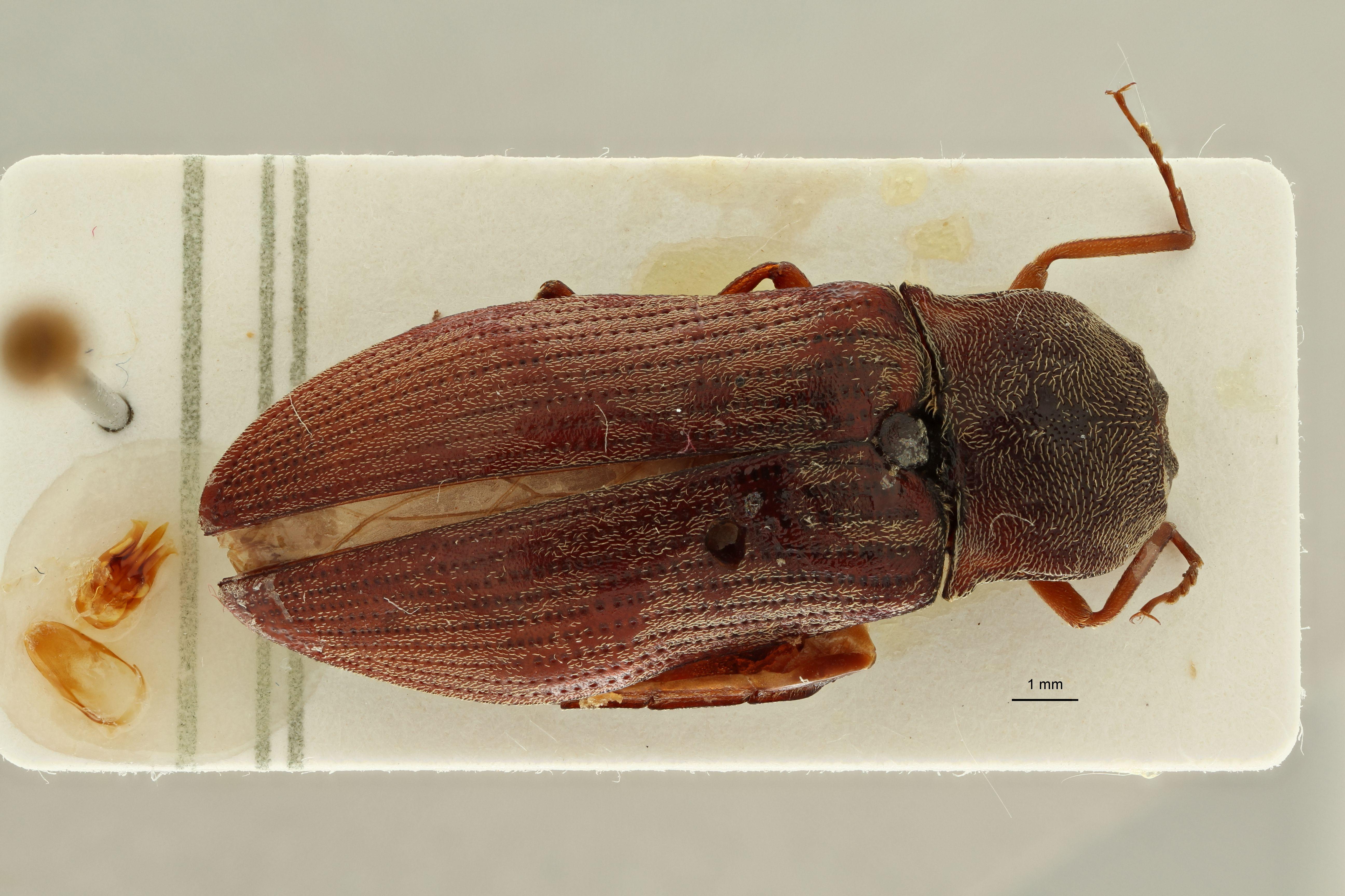 Lacon castaneipennis M st D.jpg
