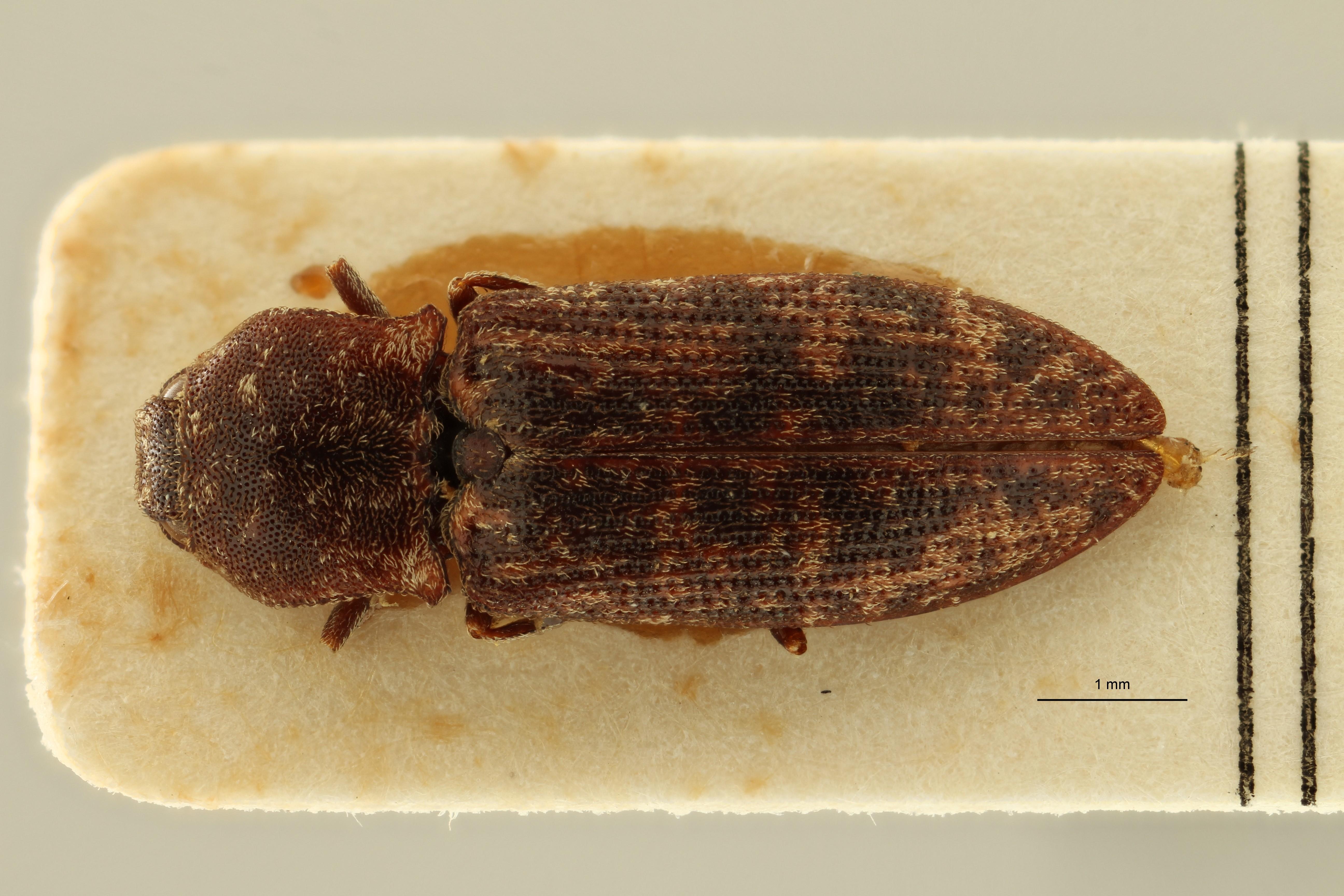 Lacon conspurcatus plt1 D ZS PMax Scaled.jpeg