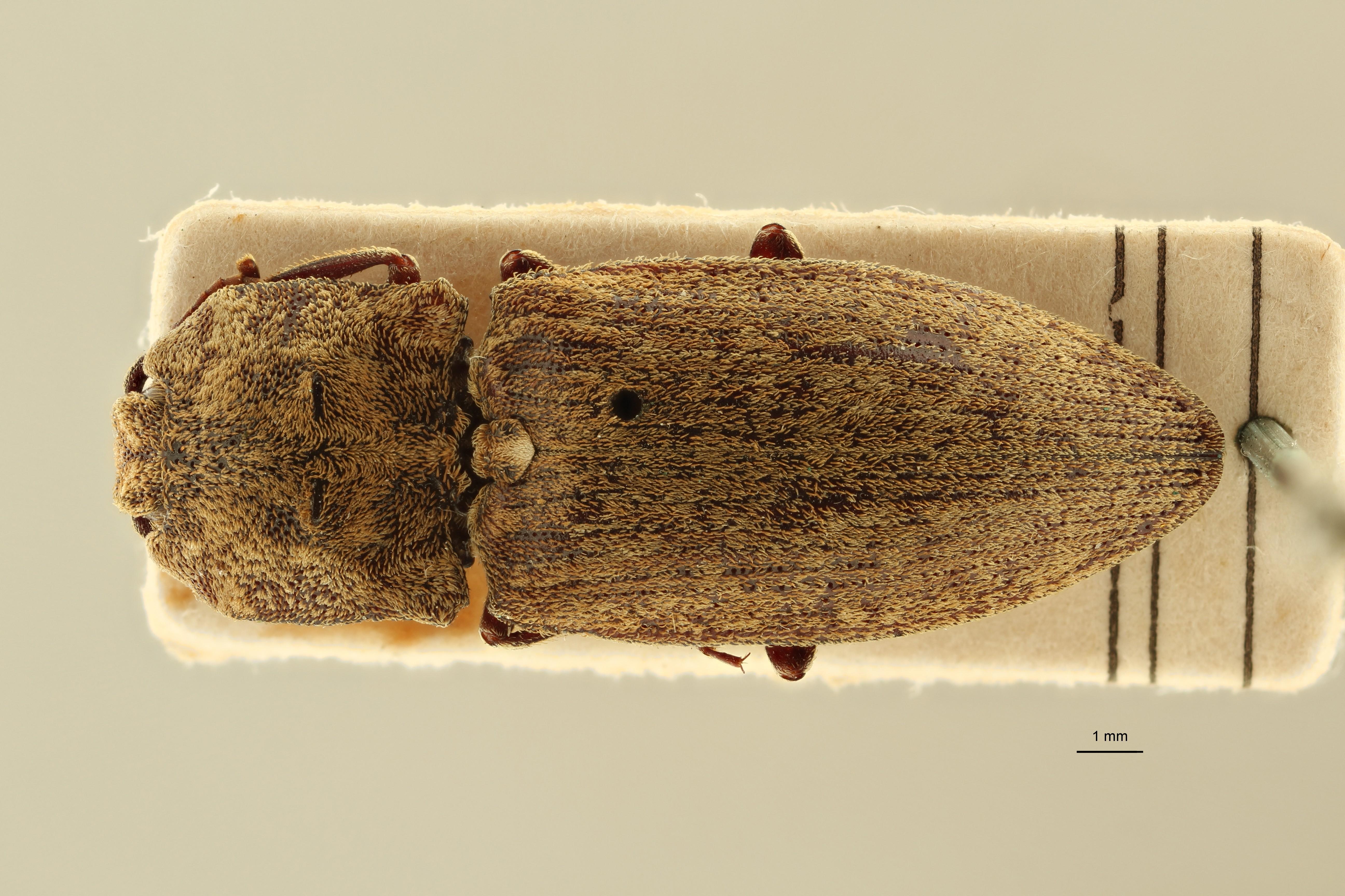 Lacon dorcinus st1 D ZS PMax Scaled.jpeg