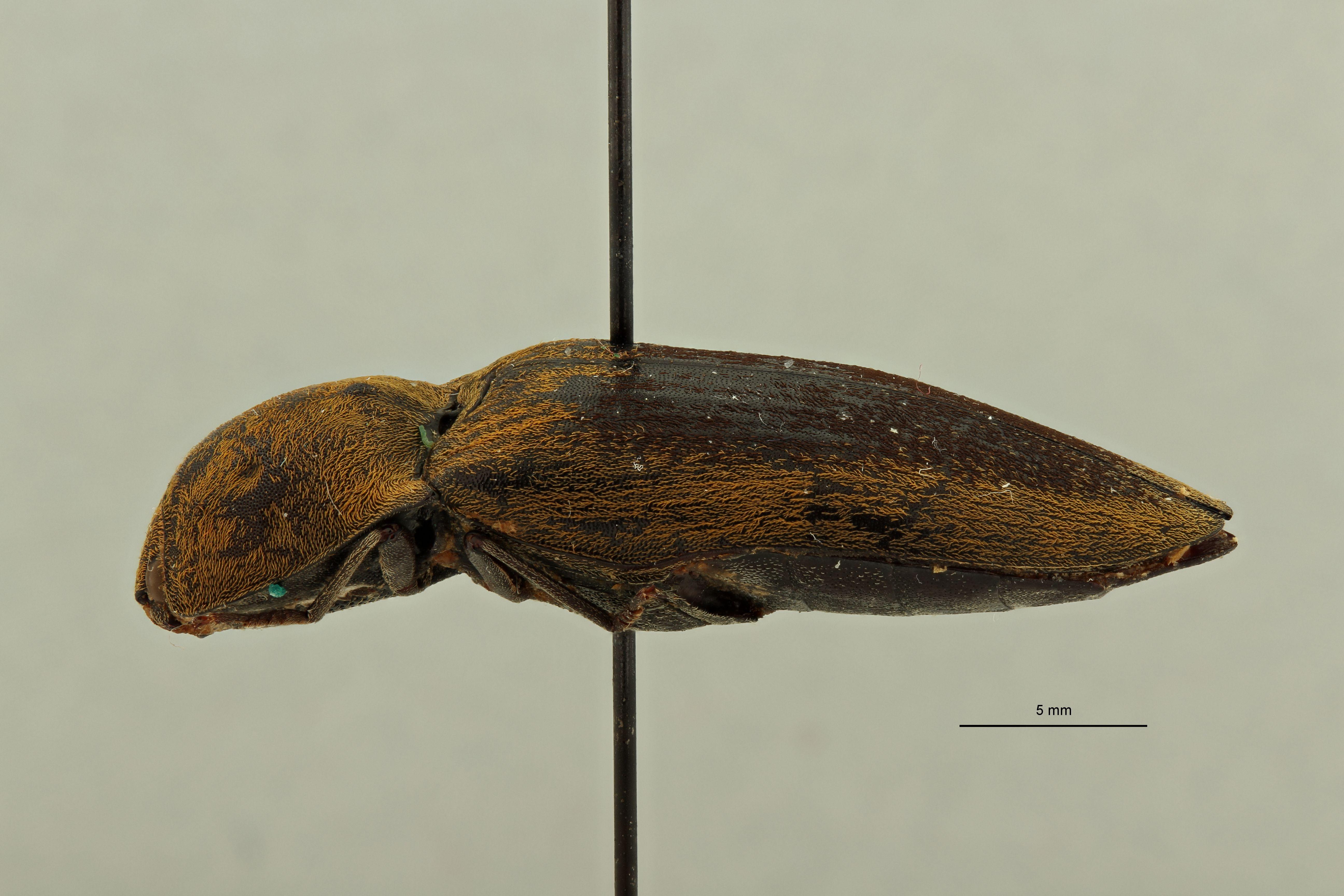 Adelocera dorsalis st L.jpg