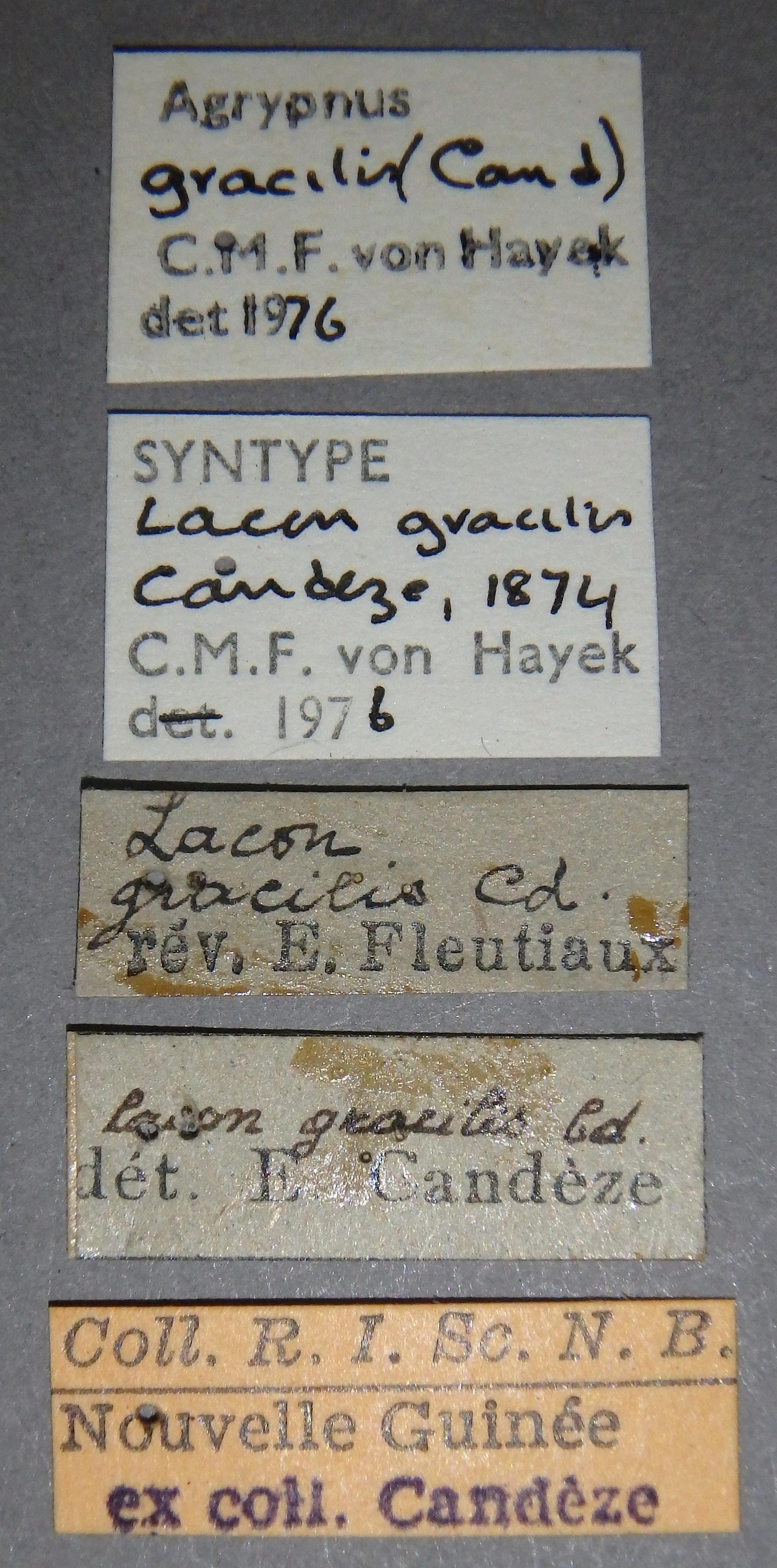 Lacon gracilis st04 Lb.JPG