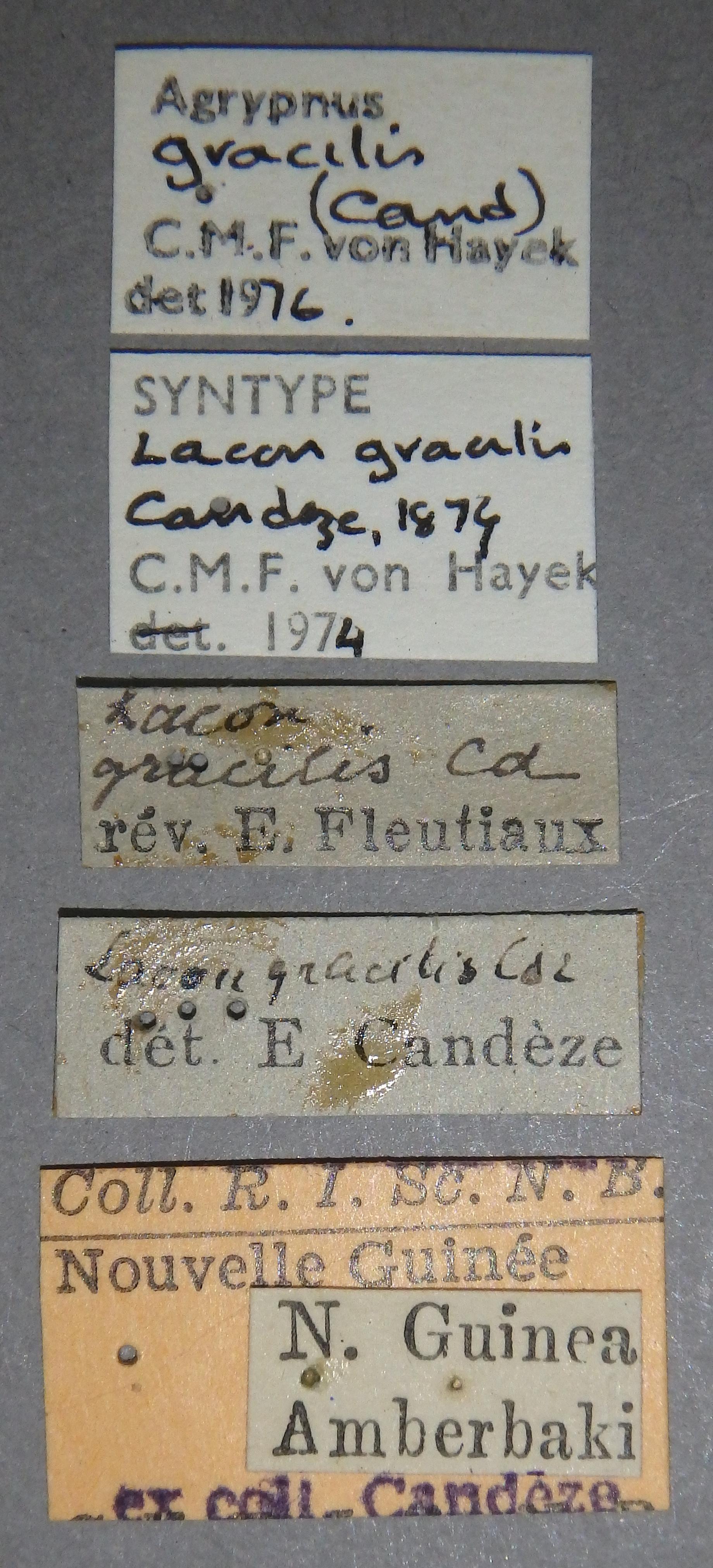 Lacon gracilis st10 Lb.JPG