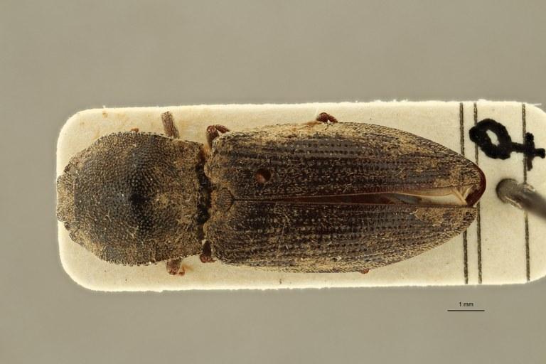 Lacon gracilis sp ZS PMax Scaled.jpeg