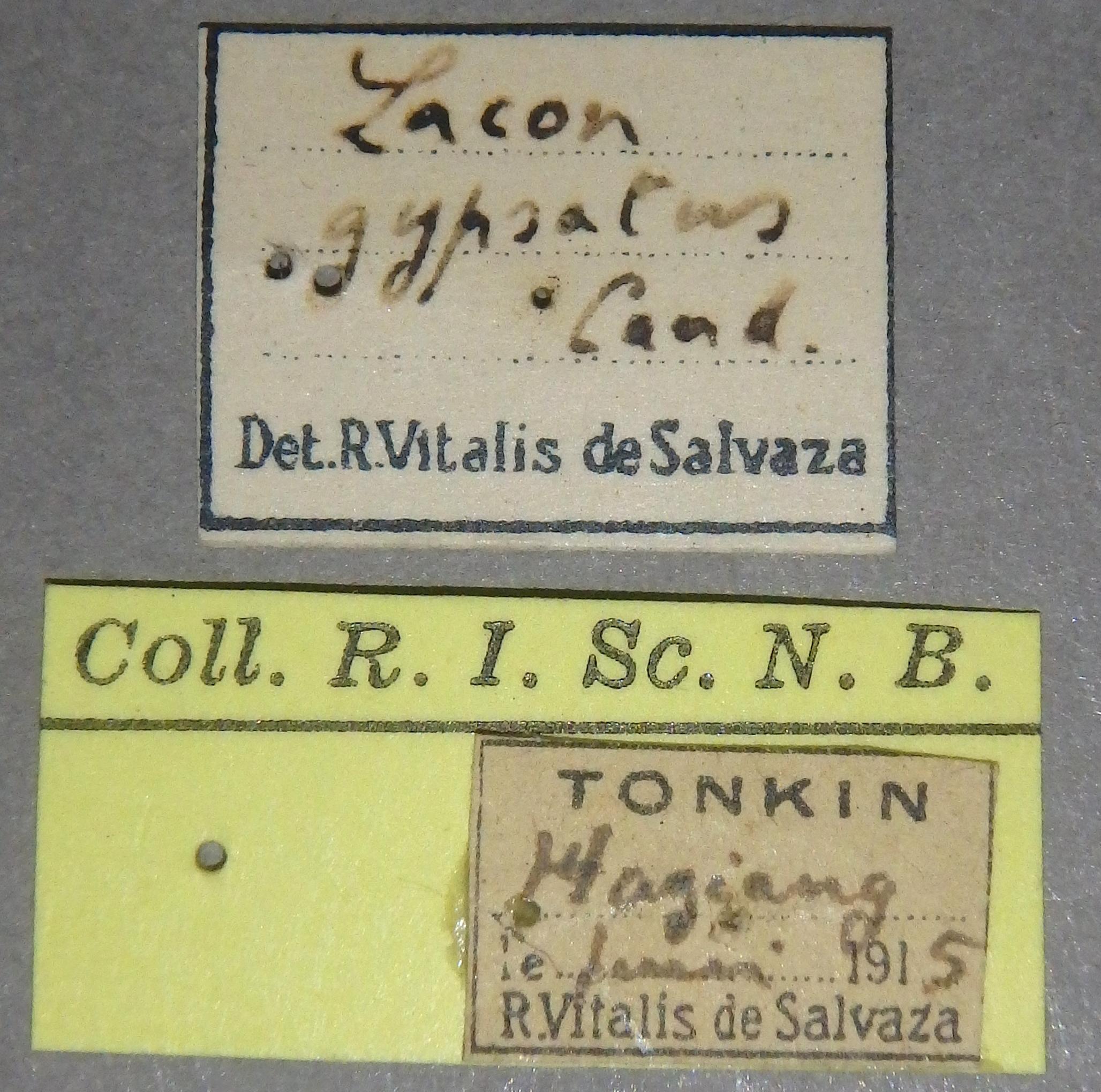 Lacon gypsatus nt1 Lb.JPG