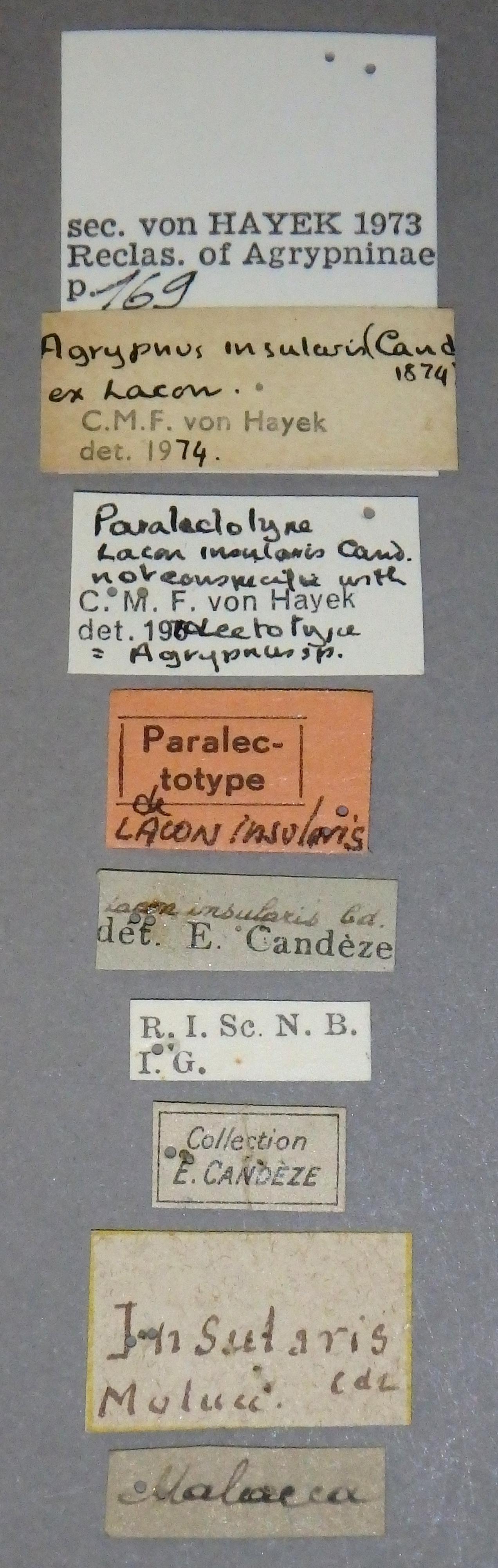 lacon insularis plt1 Lb.JPG