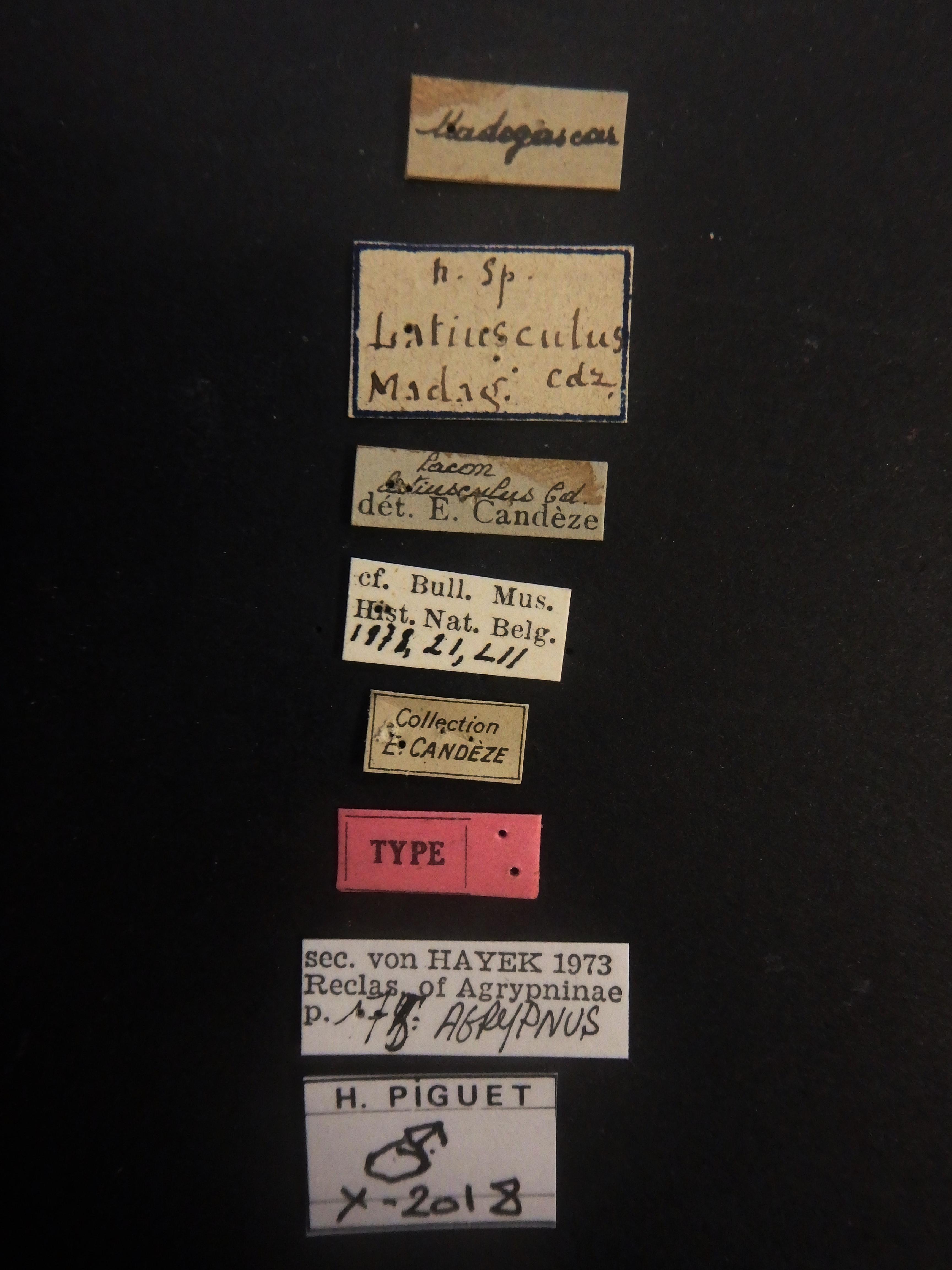 Lacon latiusculus t Labels.JPG