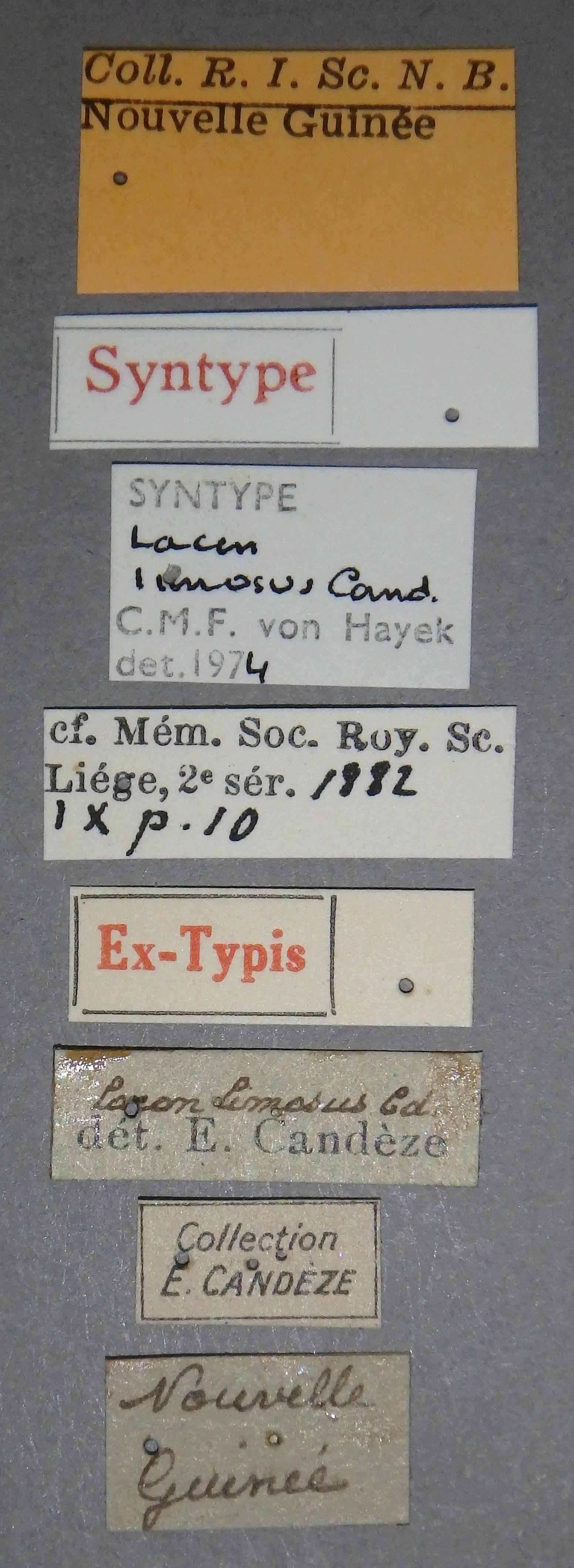 lacon limosus st2 Lb.JPG