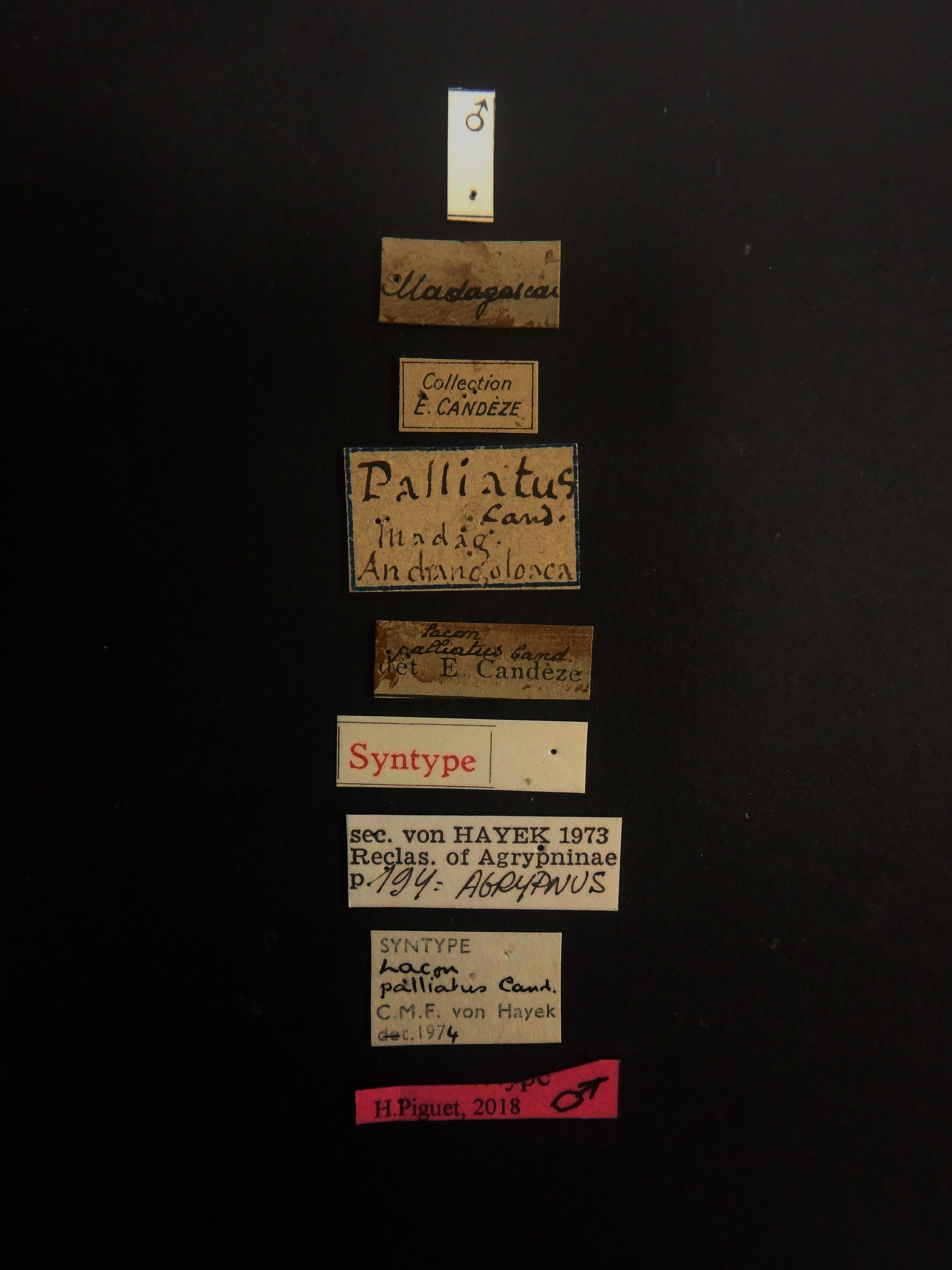 Lacon palliatus M st Labels.JPG