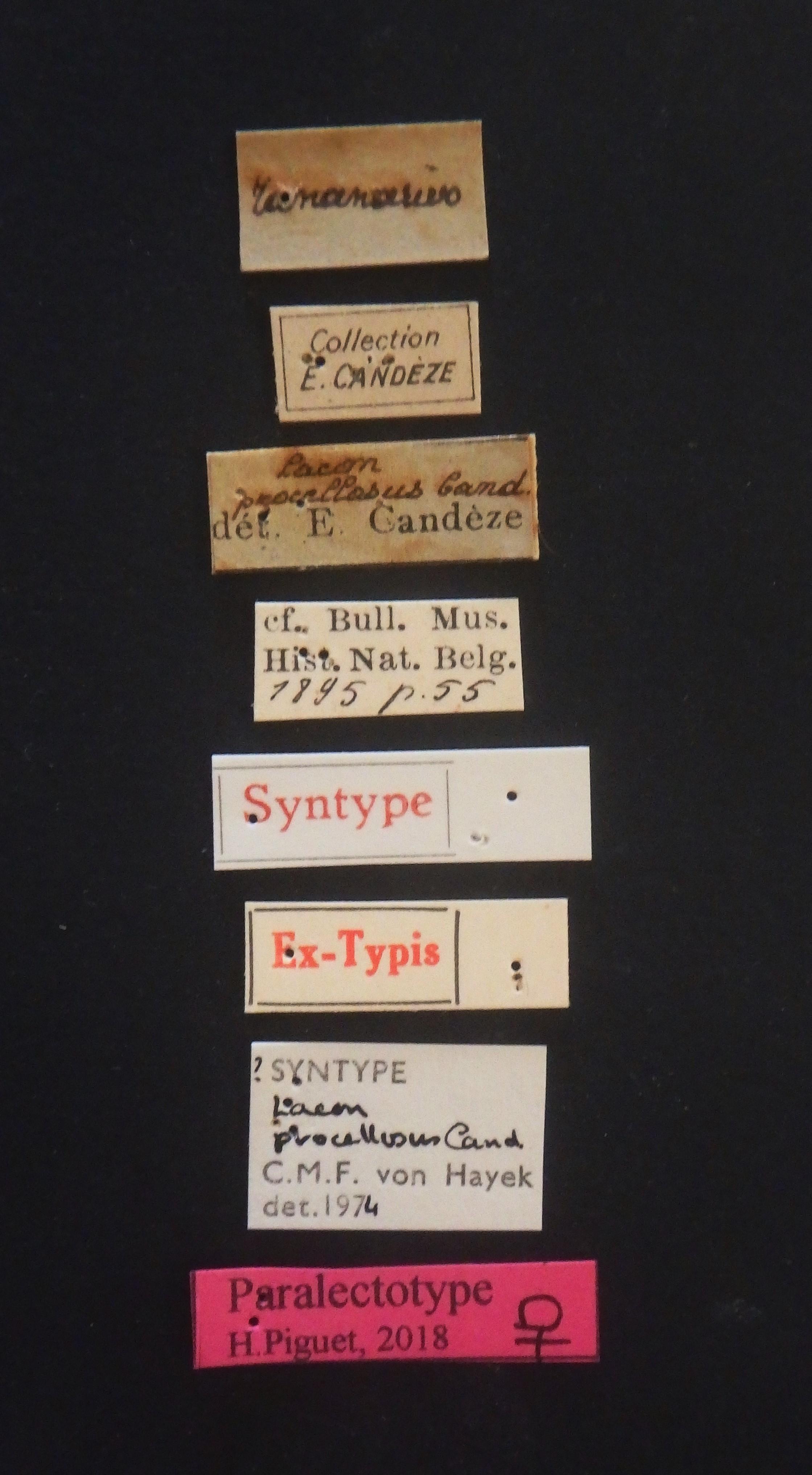 Lacon procellosus F plt Labels.JPG