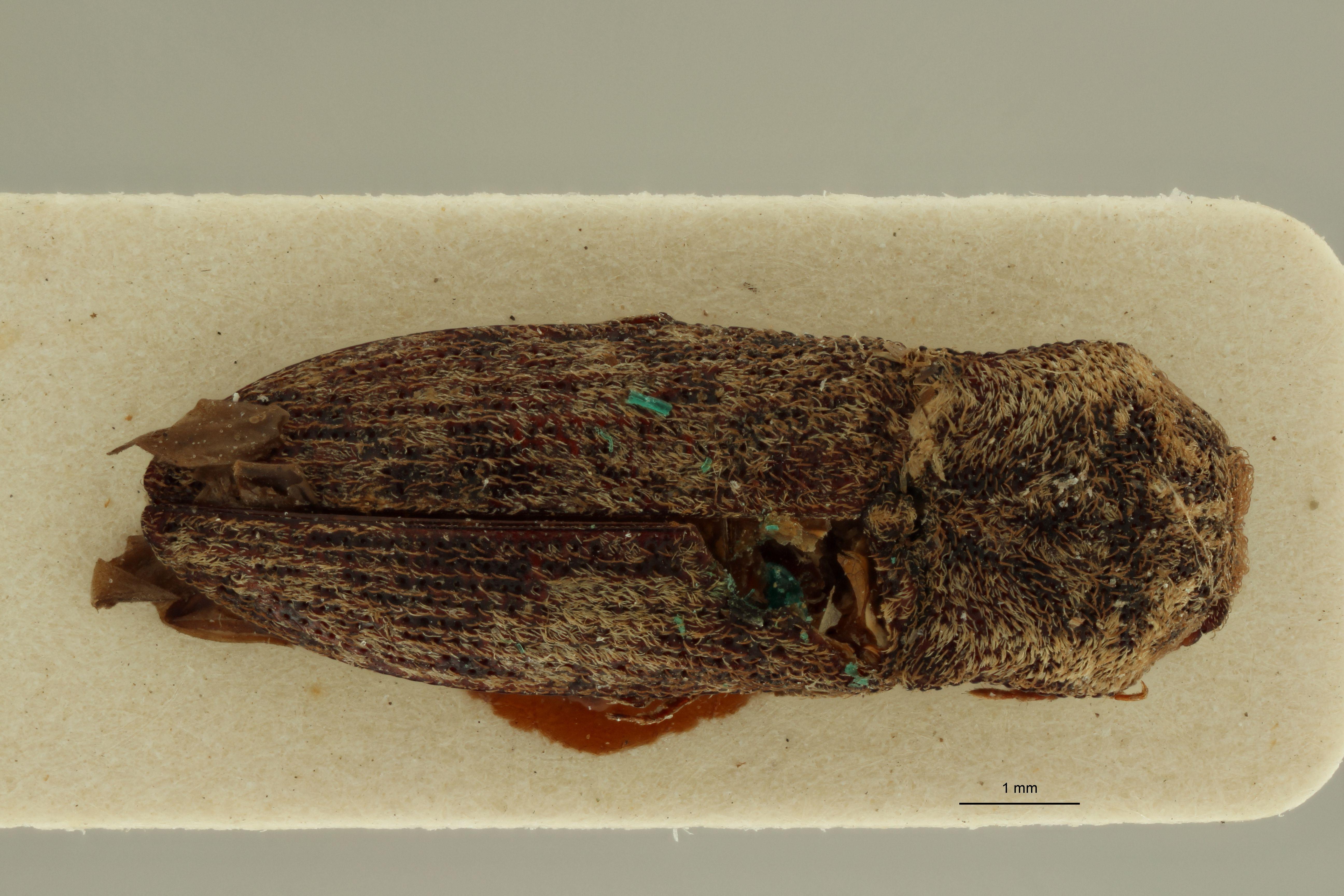 Lacon subocellatus t D.jpg
