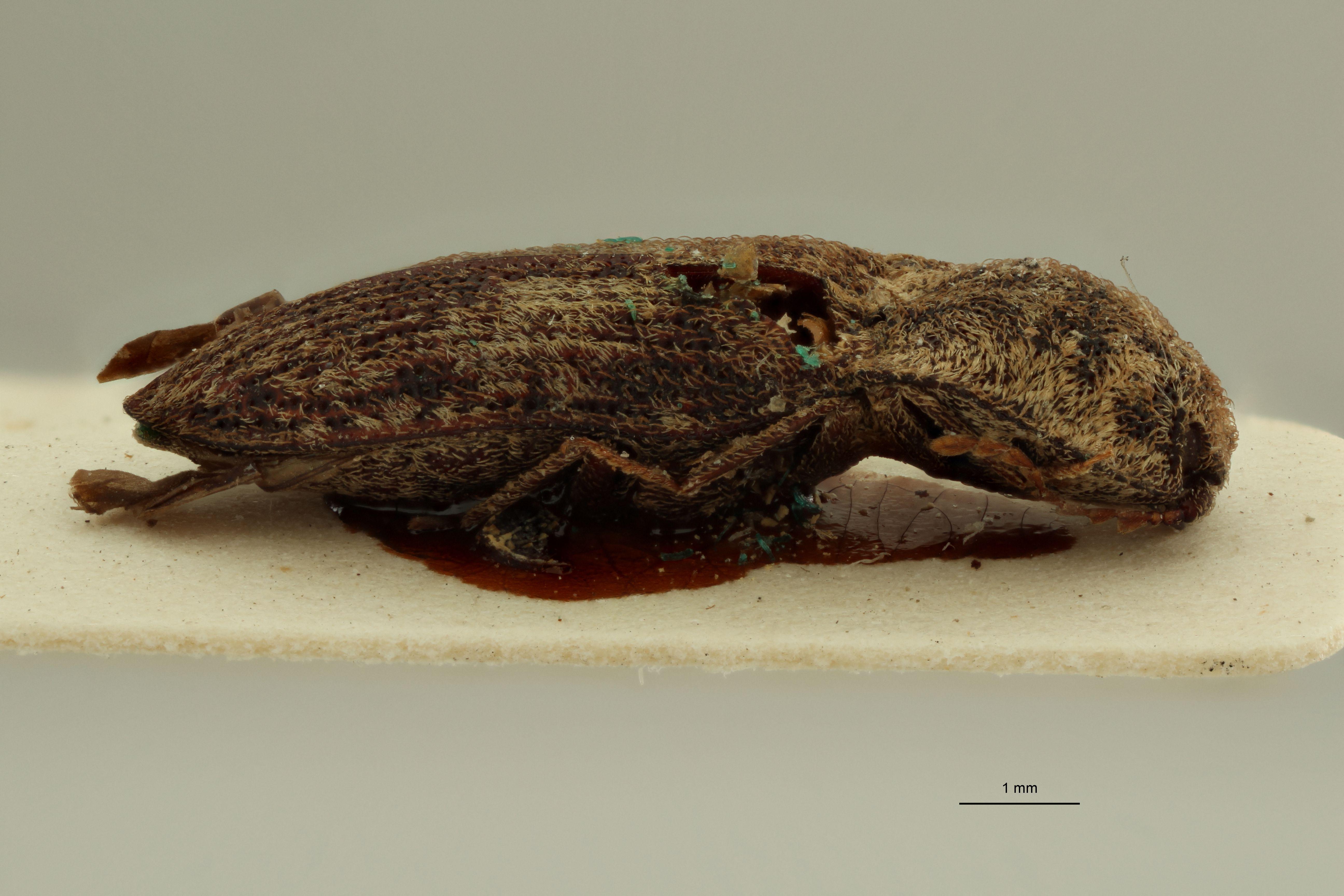 Lacon subocellatus t L.jpg