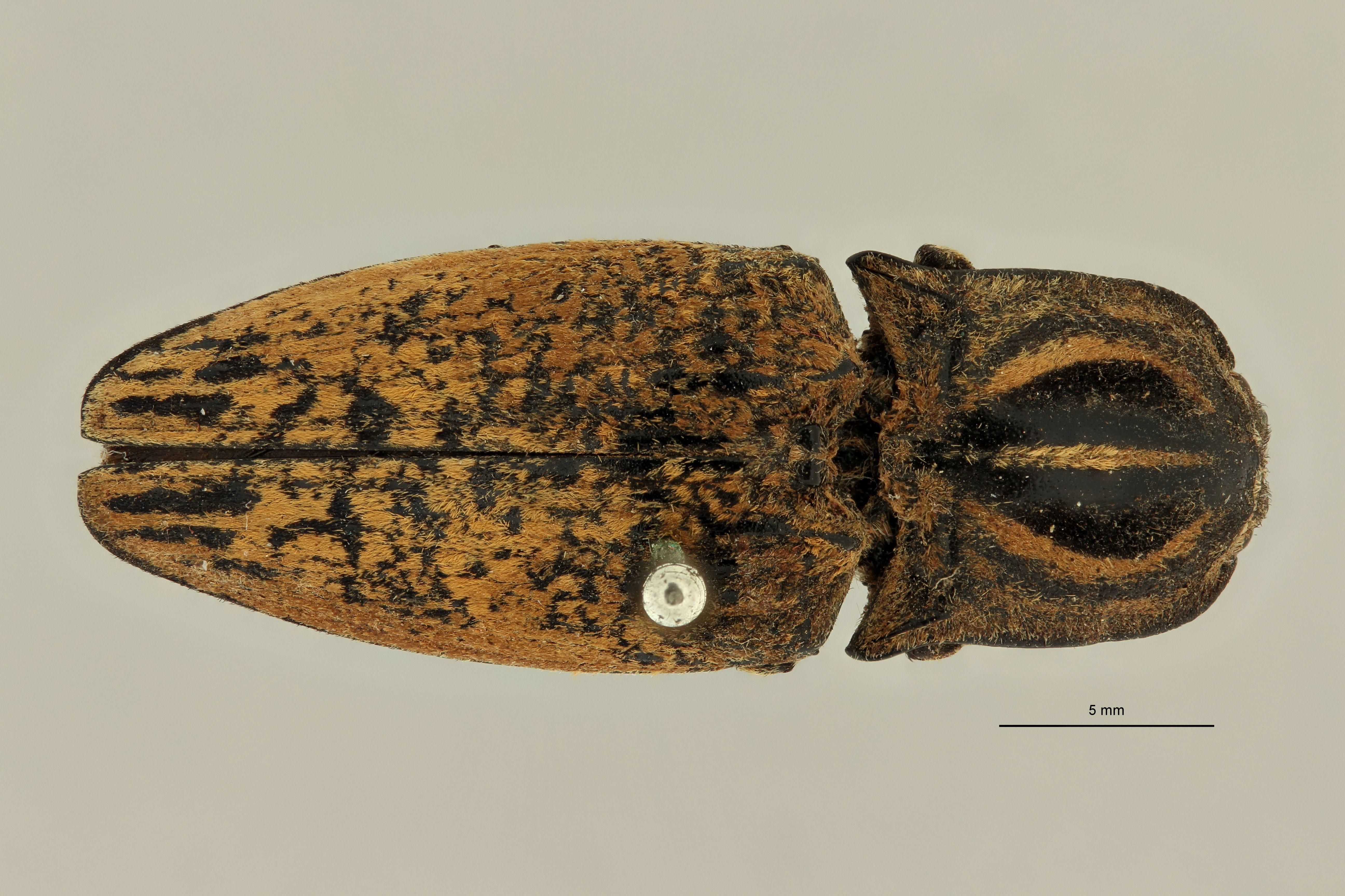 Lycoreus madagascariensis D.jpg