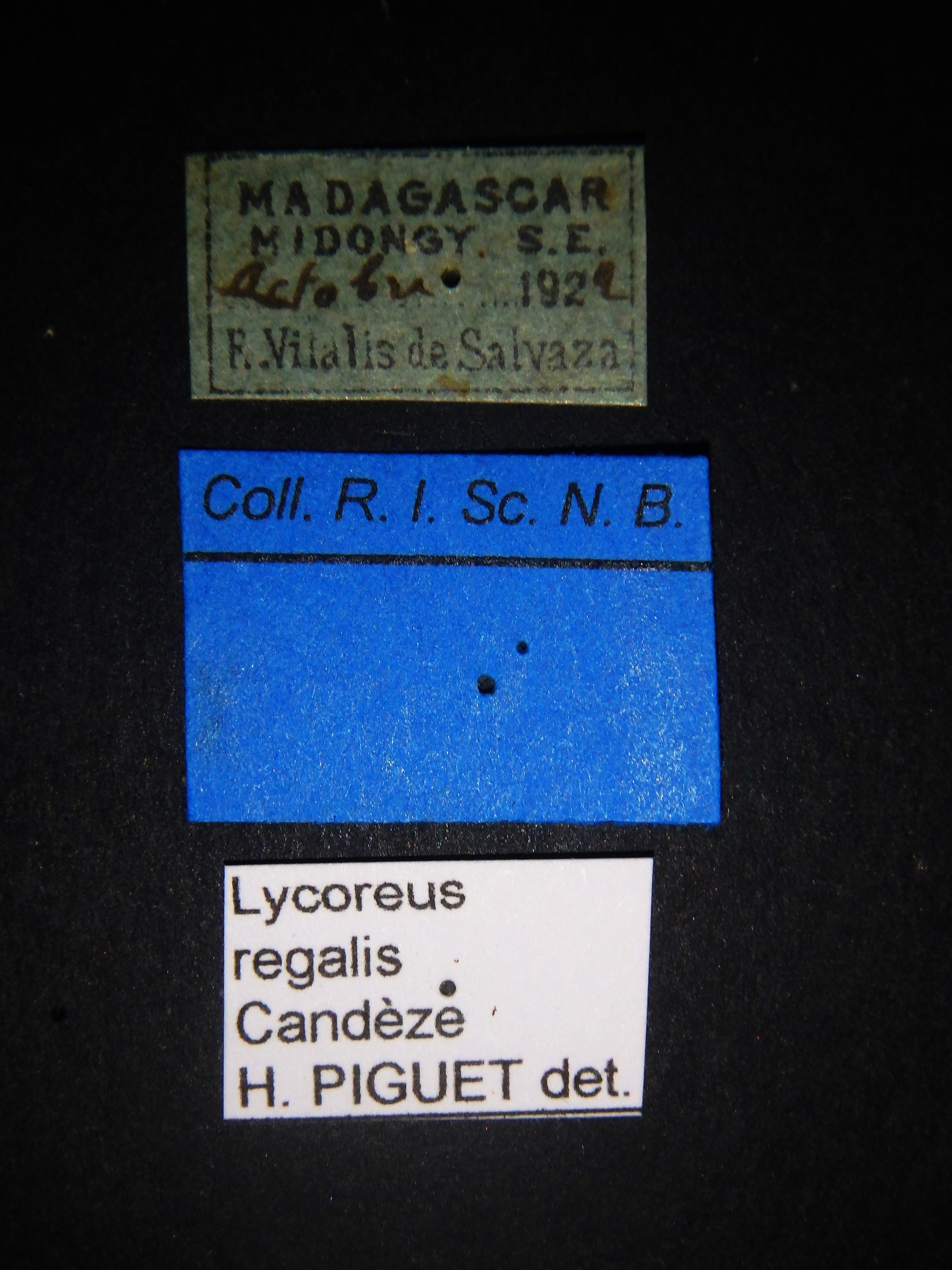Lycoreus regalis Labels.JPG