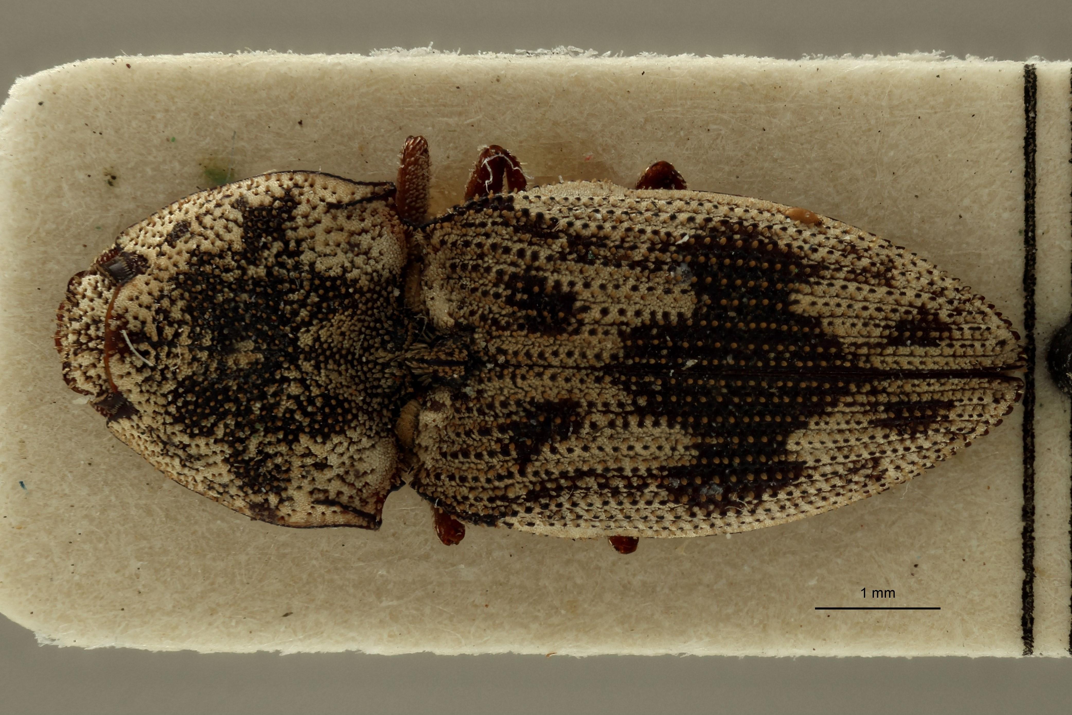 Meristhus (Meristhus) angulicollis F st D.jpg