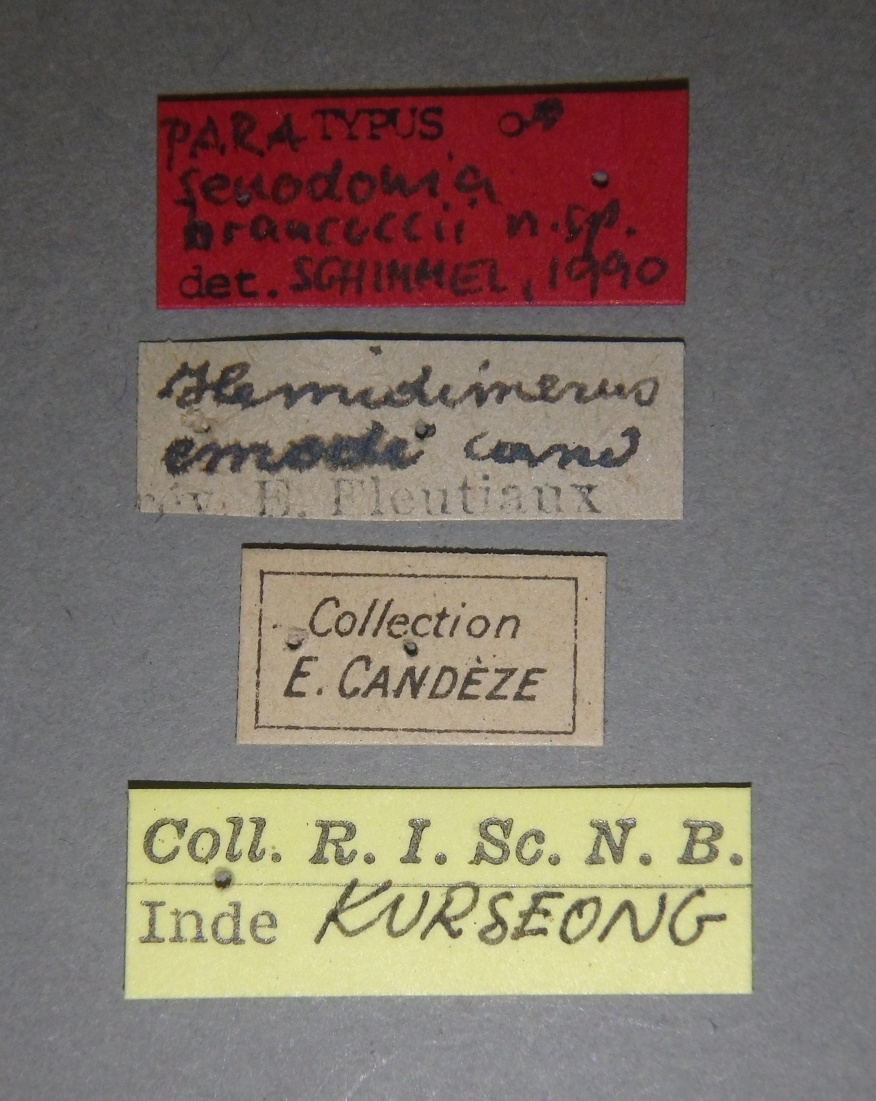 Senodonia brancuccii pt2 M Lb.JPG