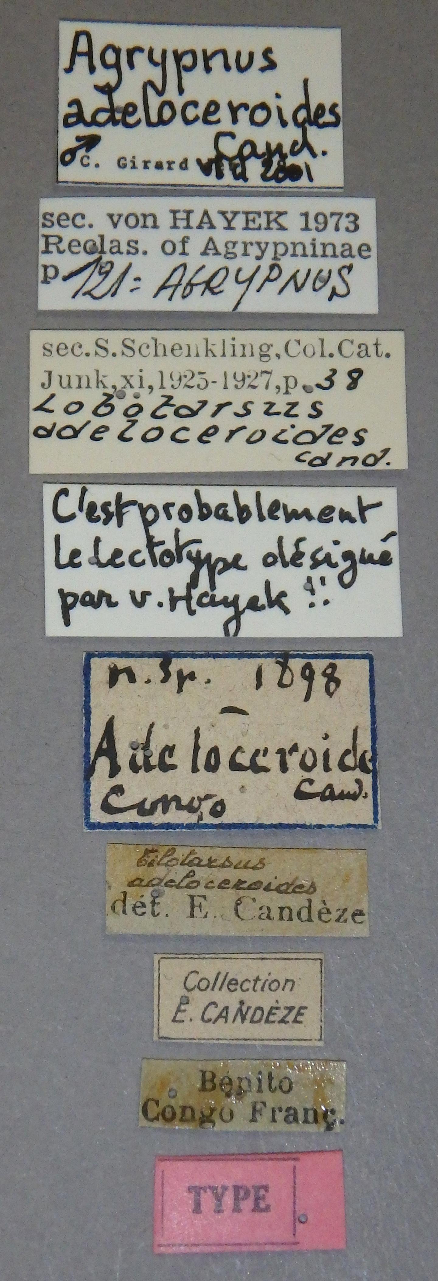 Tilotarsus adeloceroides t Lb.JPG
