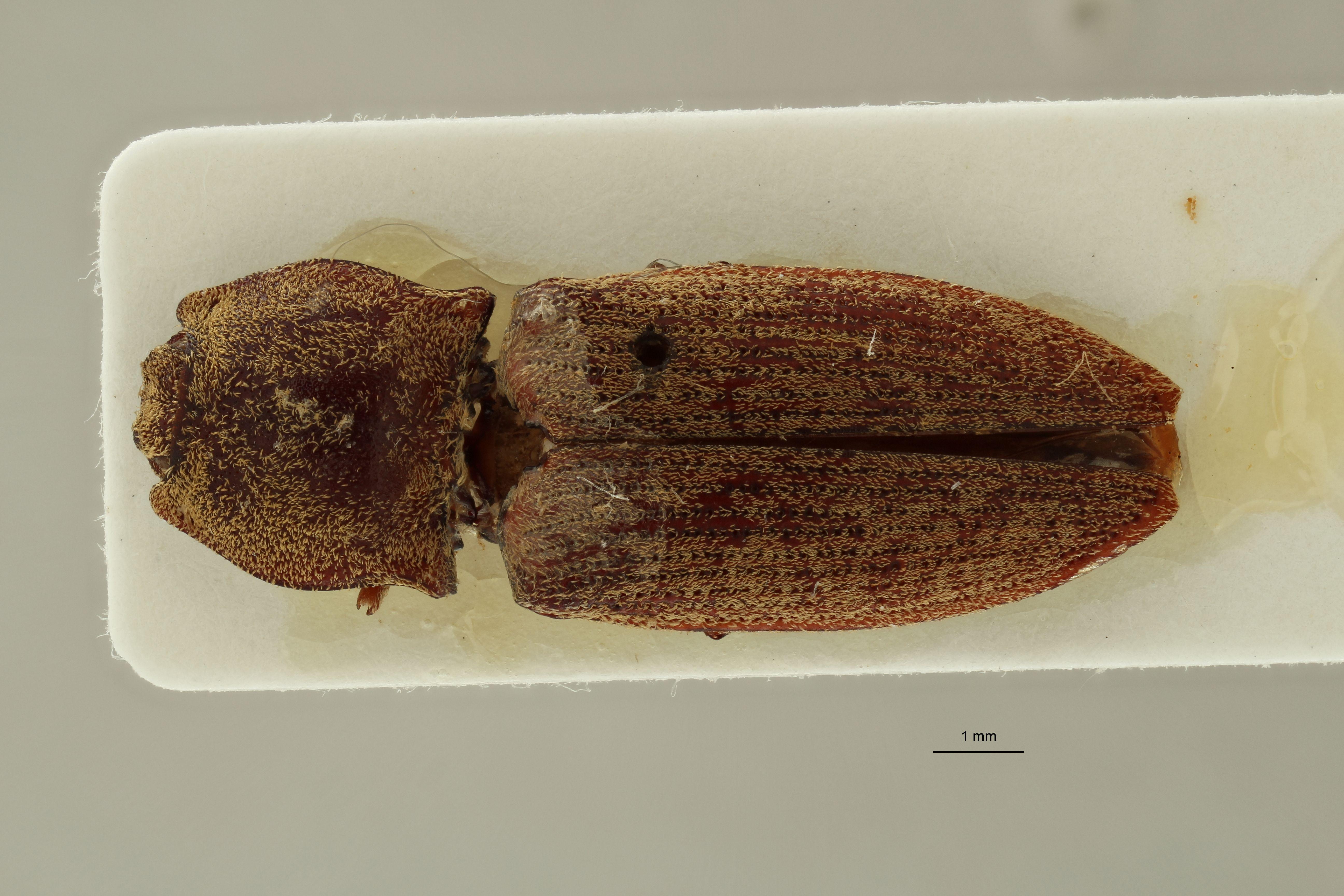 Tilotarsus depressus M lt D.jpg