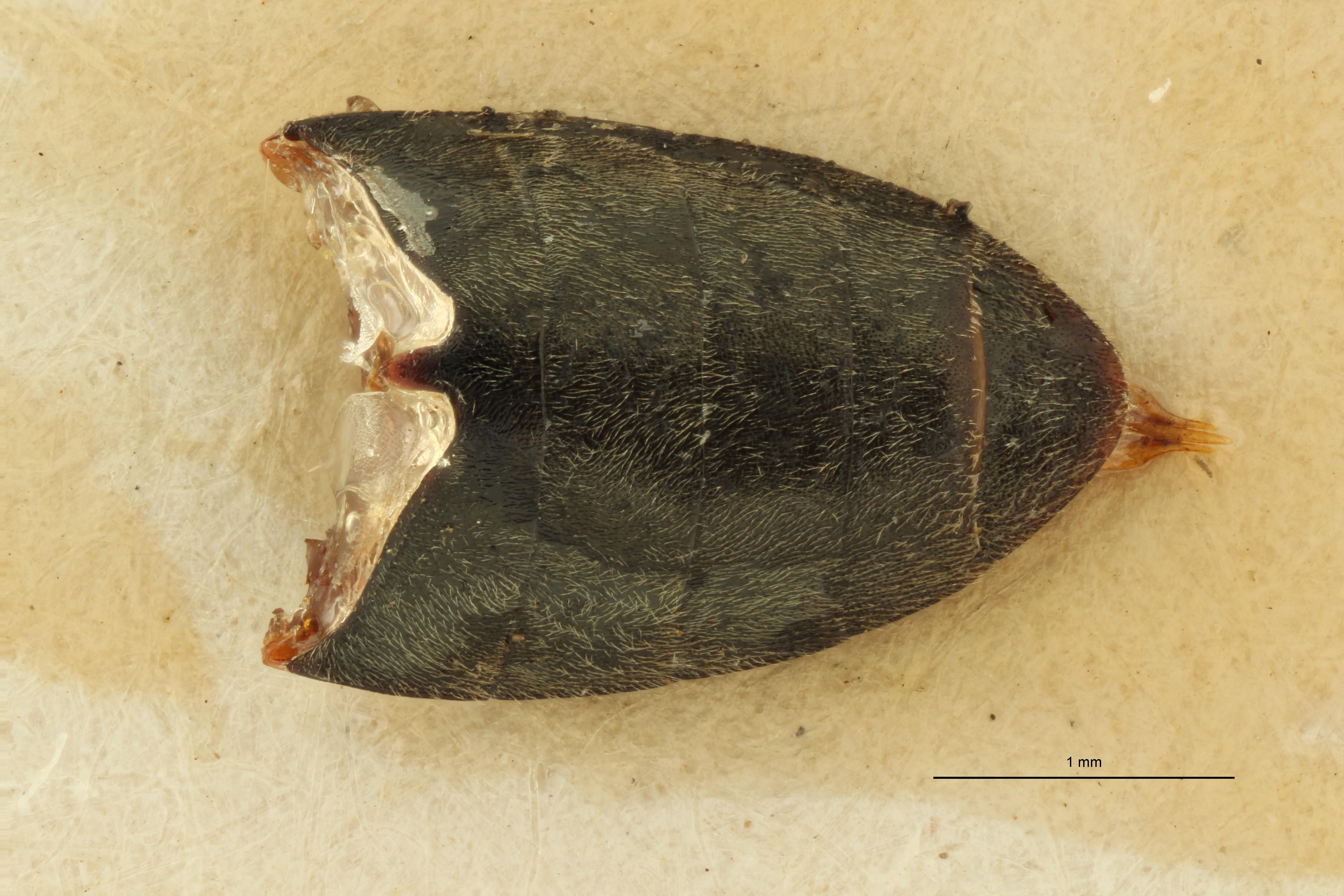 Cardiophorus dahuricus nt VA ZS PMax Scaled.jpeg