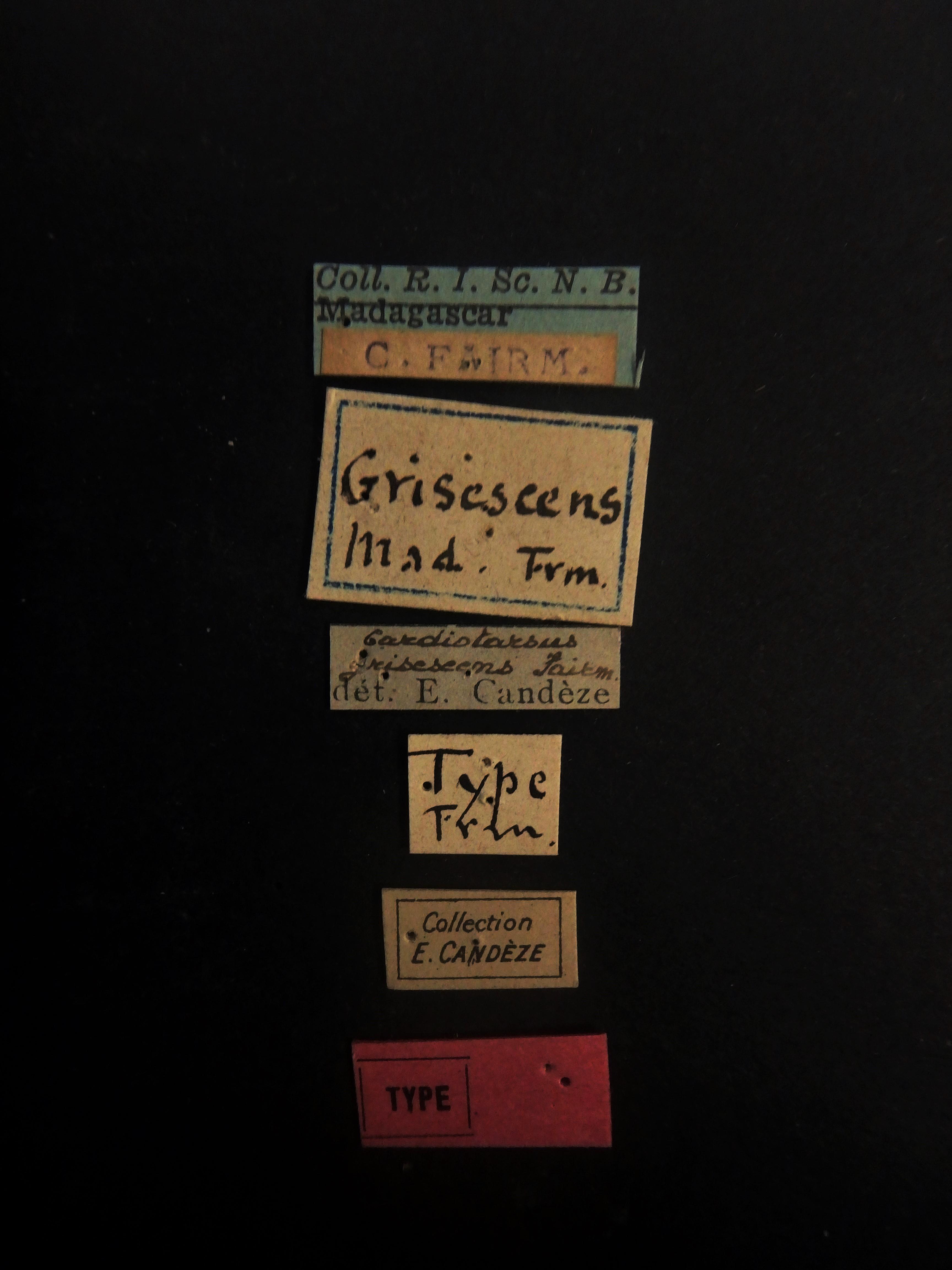 Cardiotarsus grisescens t Labels.JPG