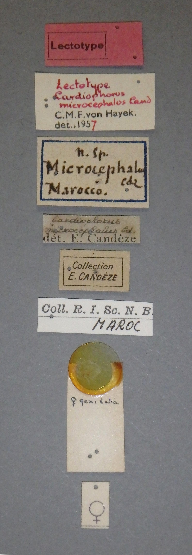 Cardiophorus microcephalus lt F Lb.JPG