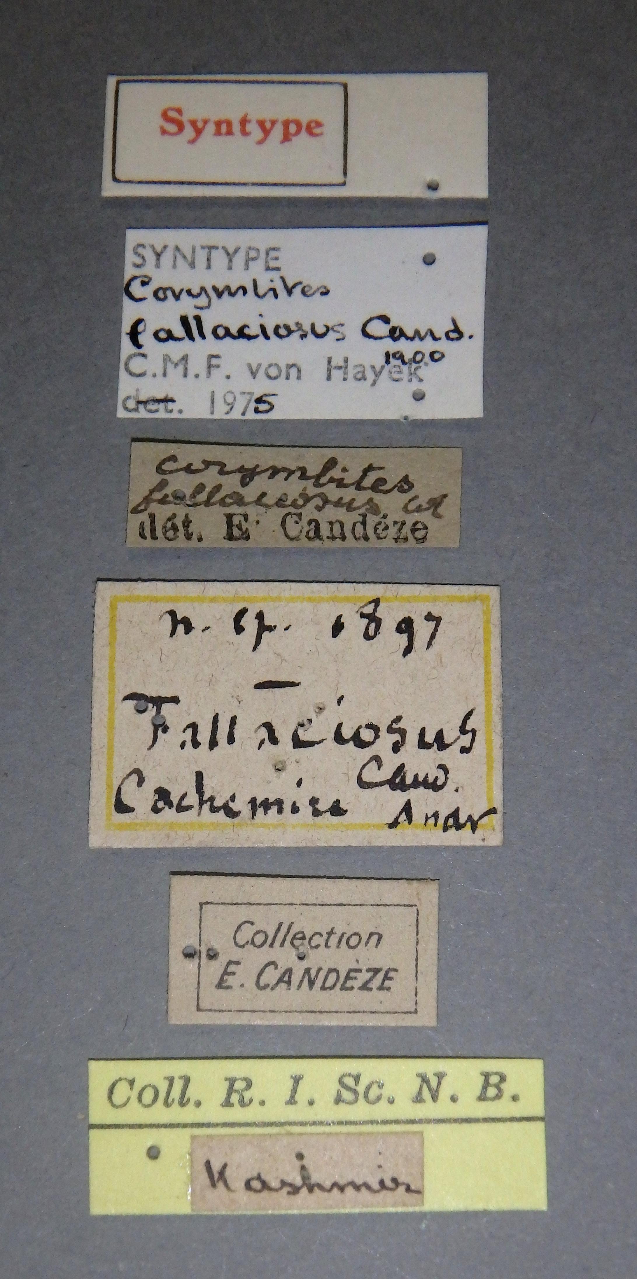 Corymbites fallaciosus st2 Lb.JPG
