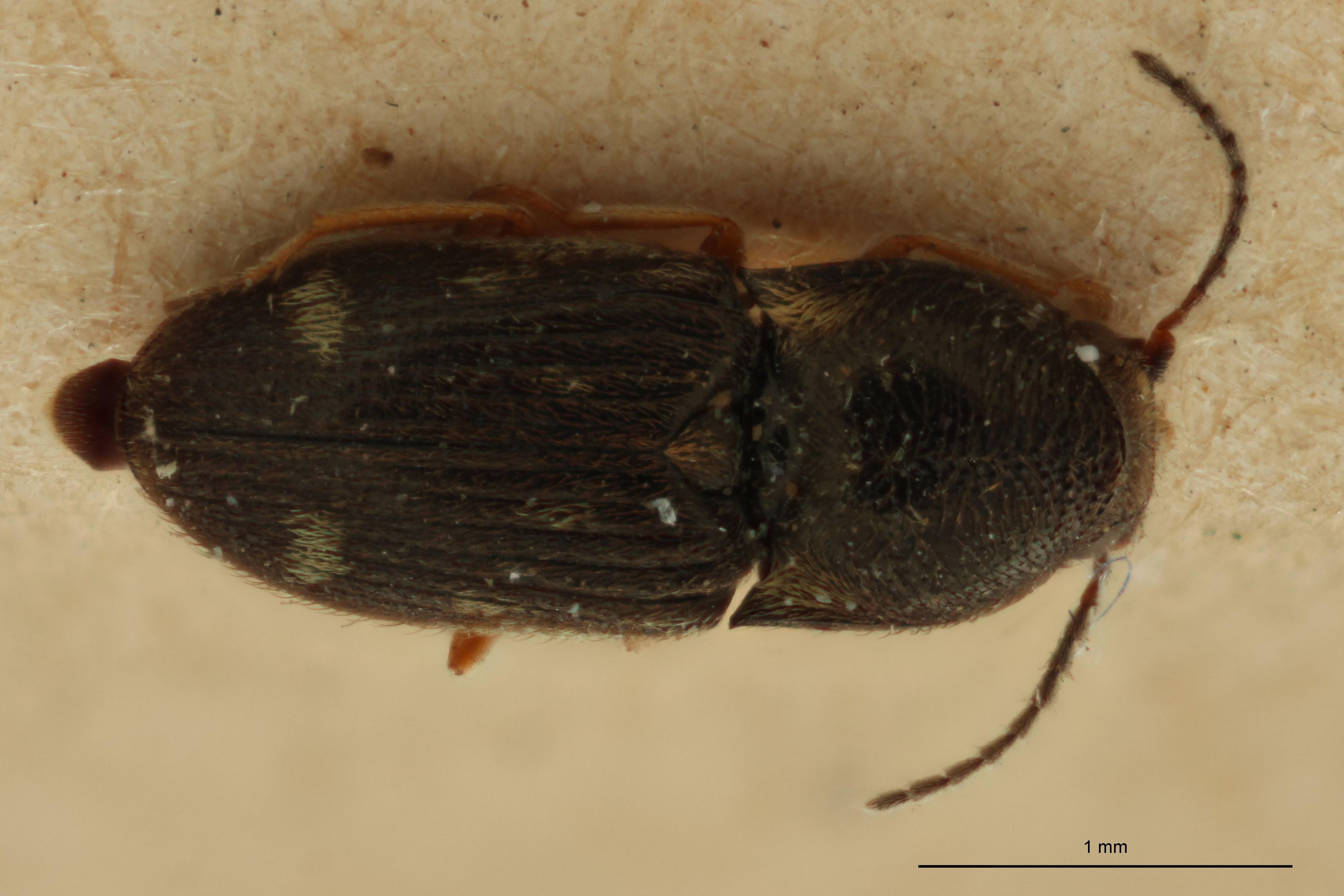 Cryptohypnus albitactus D.jpg