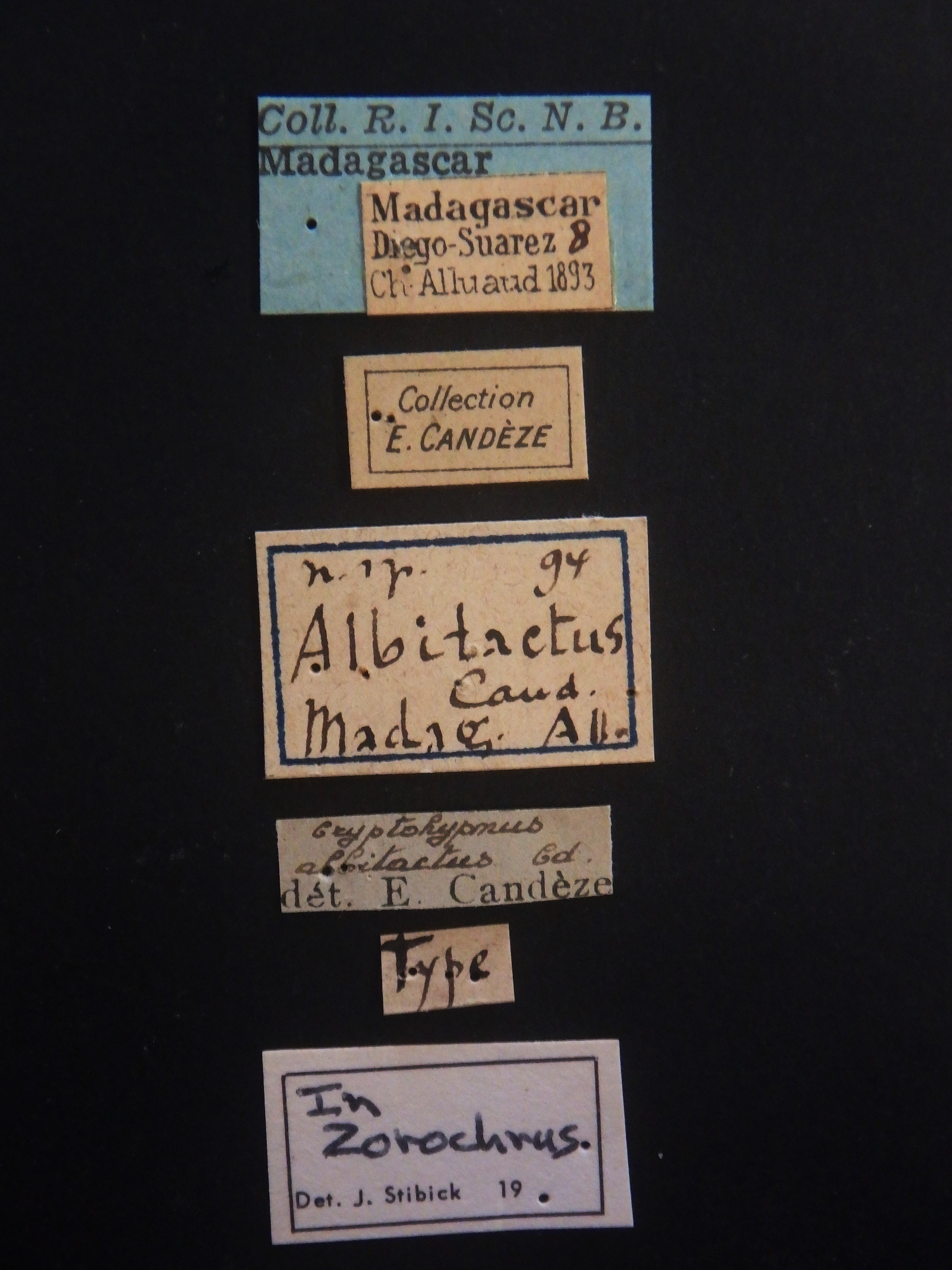 Cryptohypnus albitactus Labels.JPG