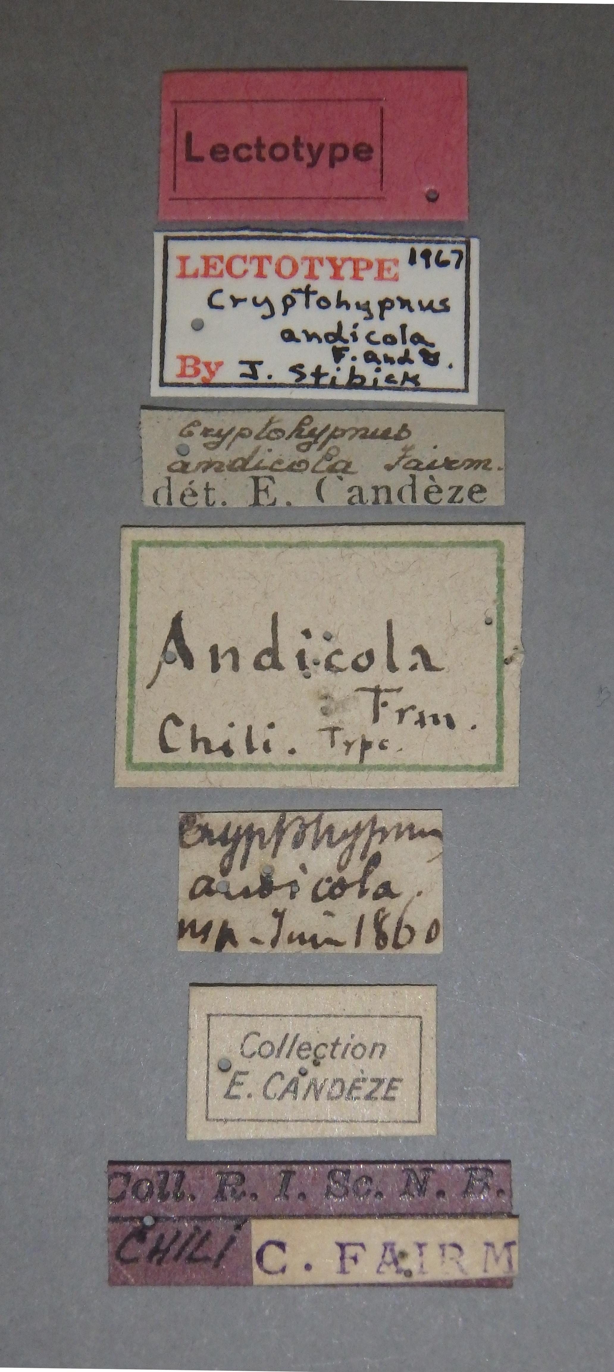 Cryptohypnus andicola lt Lb.JPG