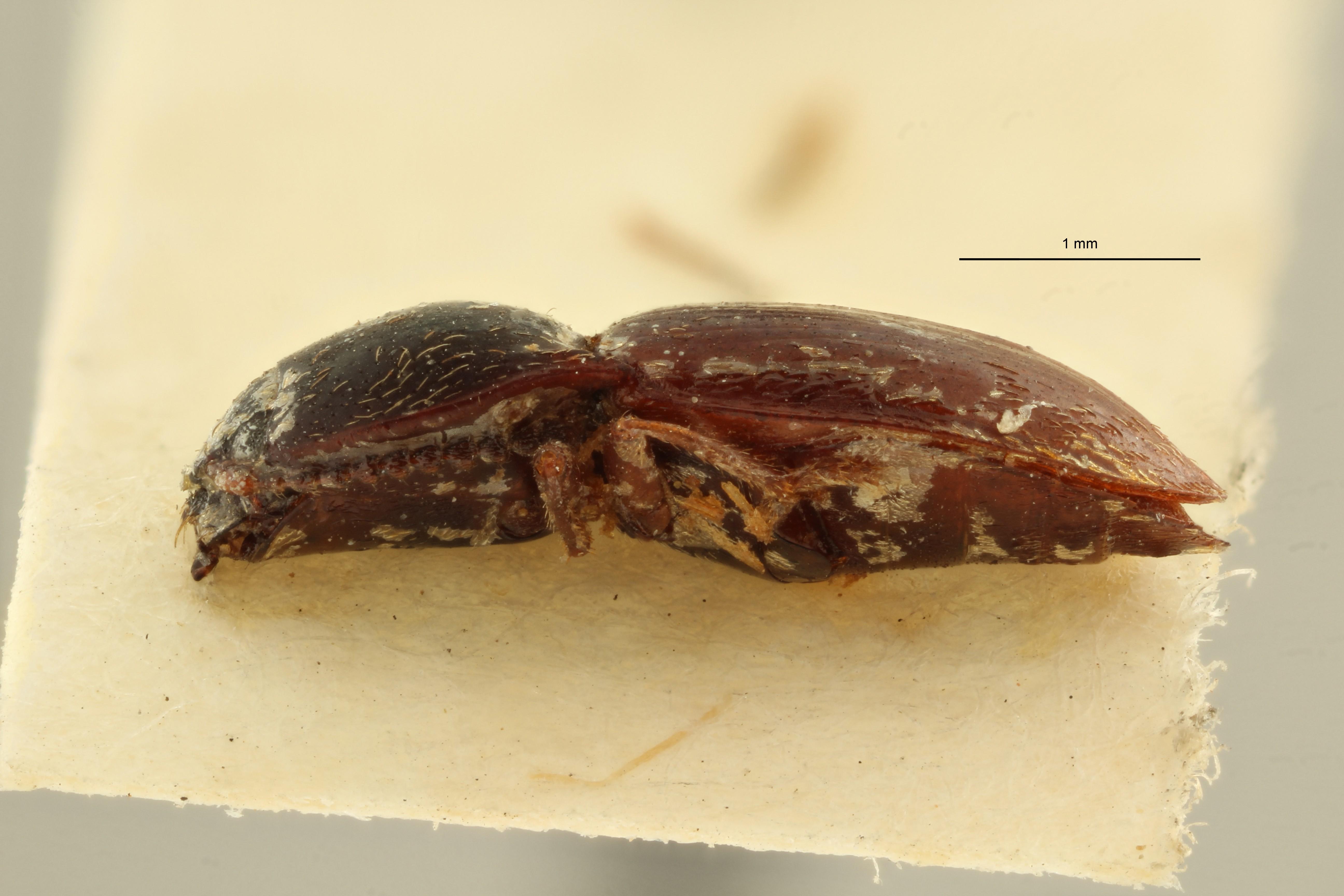 Hypnoidus himalayensis ht L ZS PMax Scaled.jpeg