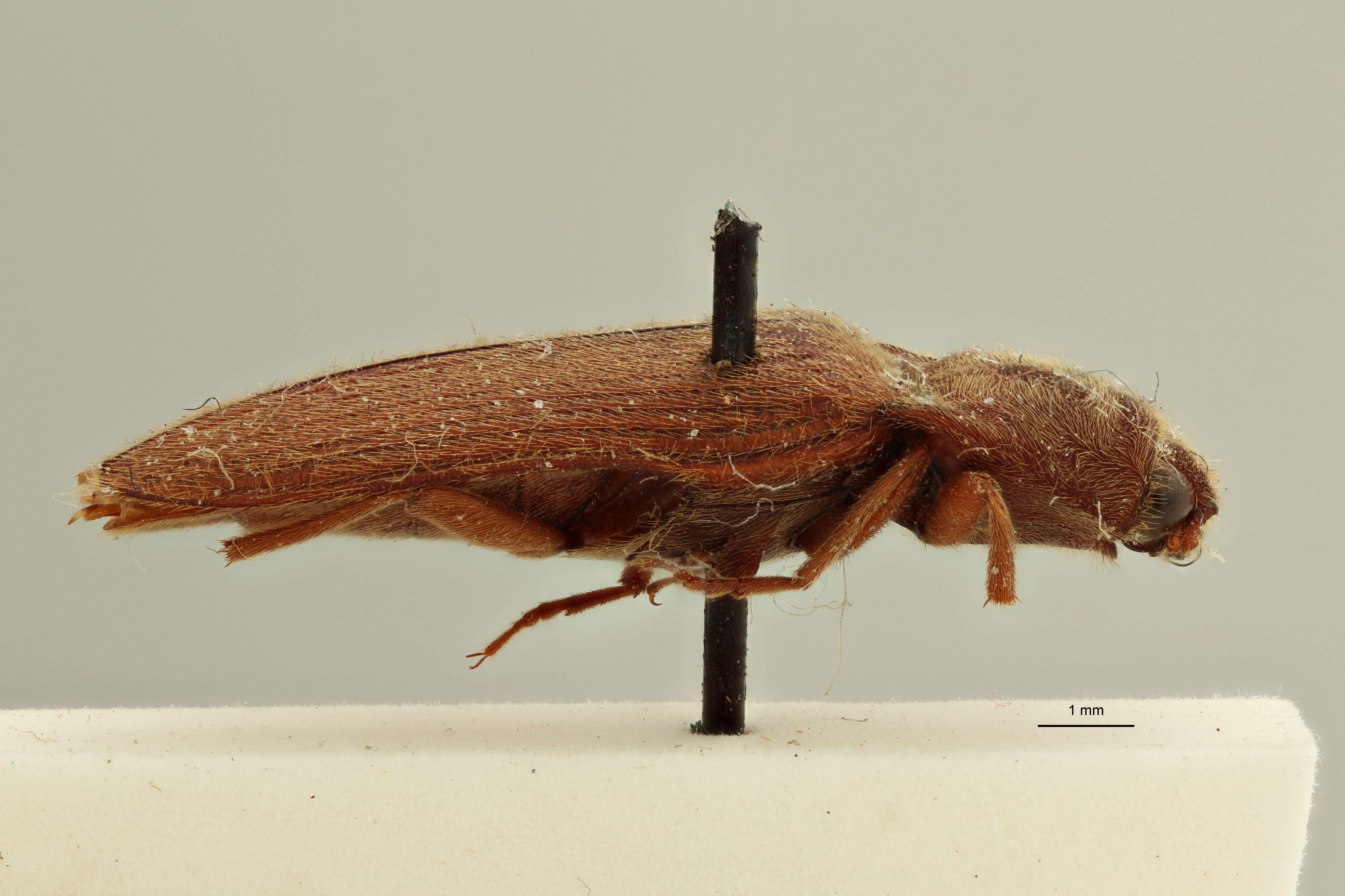 Elater holosericeus M t L.jpg