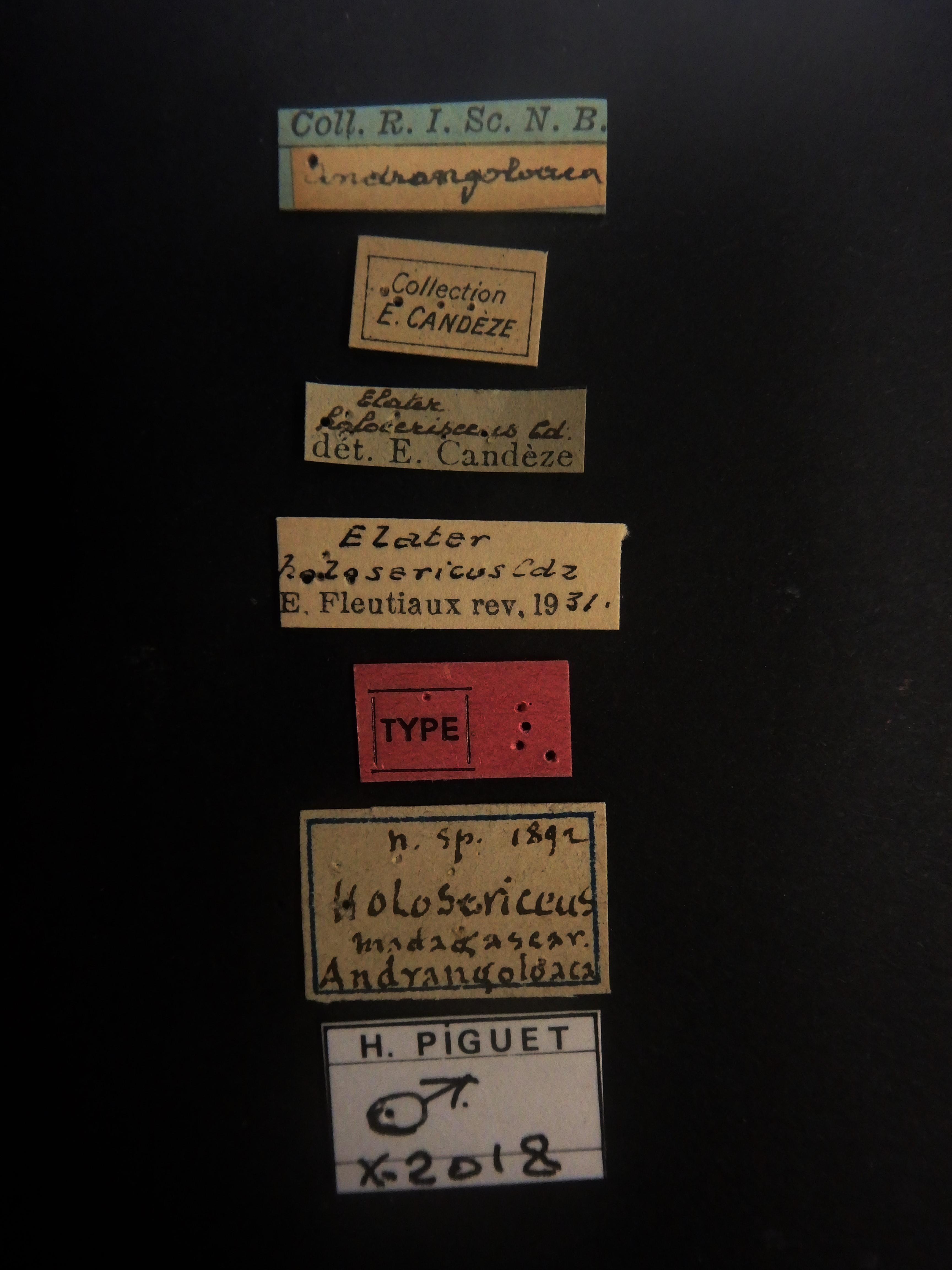 Elater holosericeus M t Labels.JPG