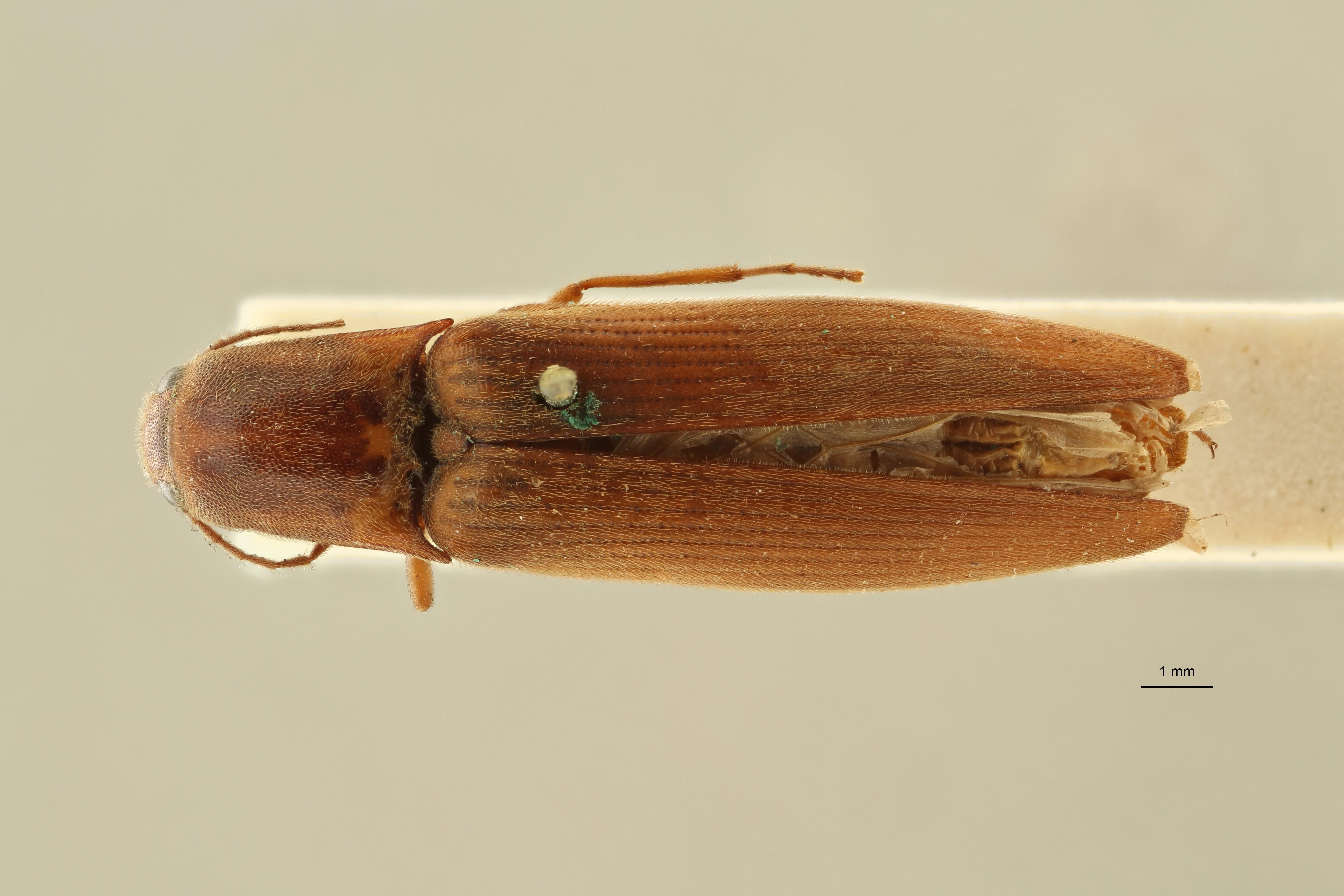 Megapenthes opacipennis lt M D ZS PMax Scaled.jpeg