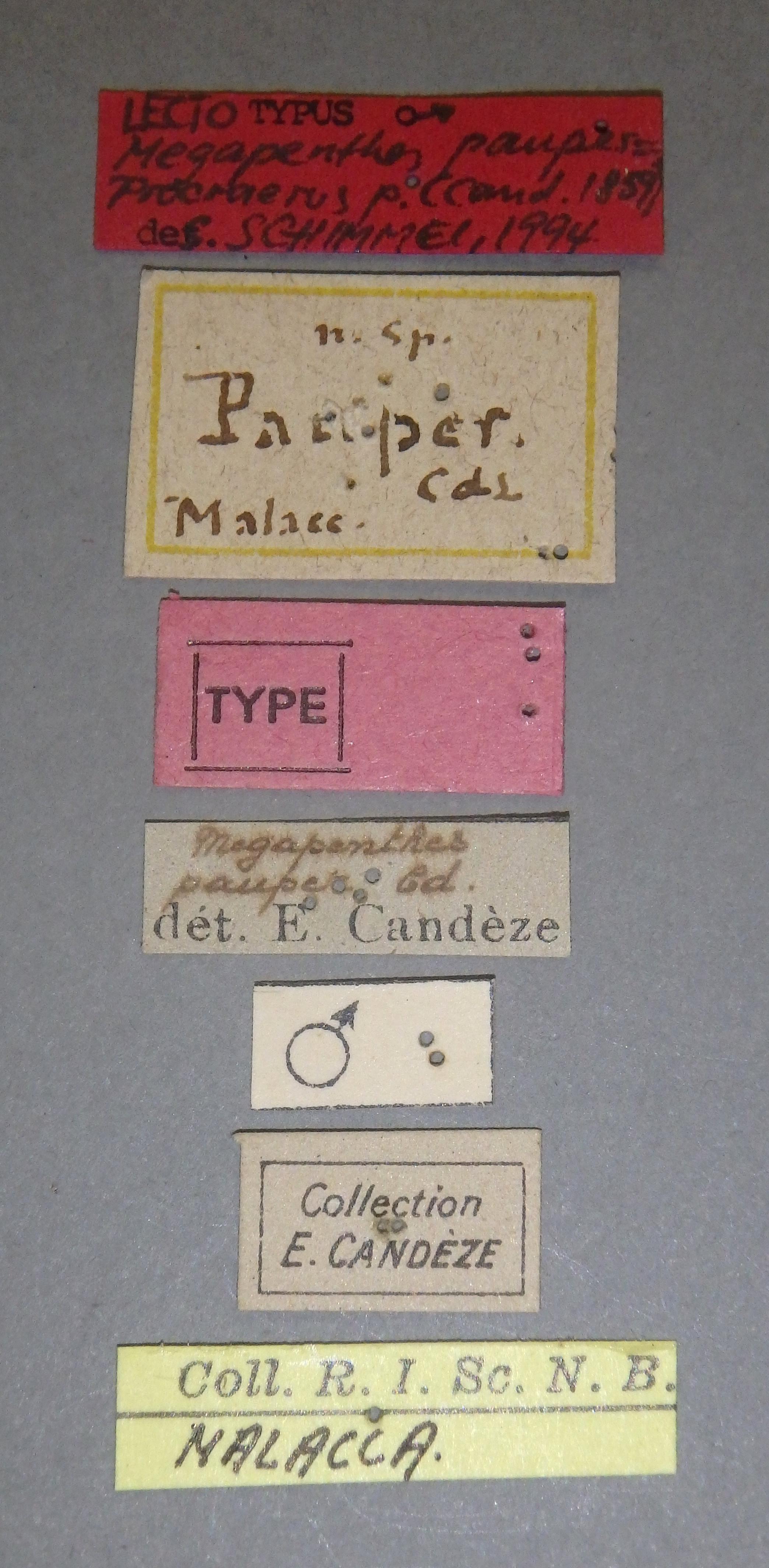 Megapenthes pauper lt M Lb.JPG