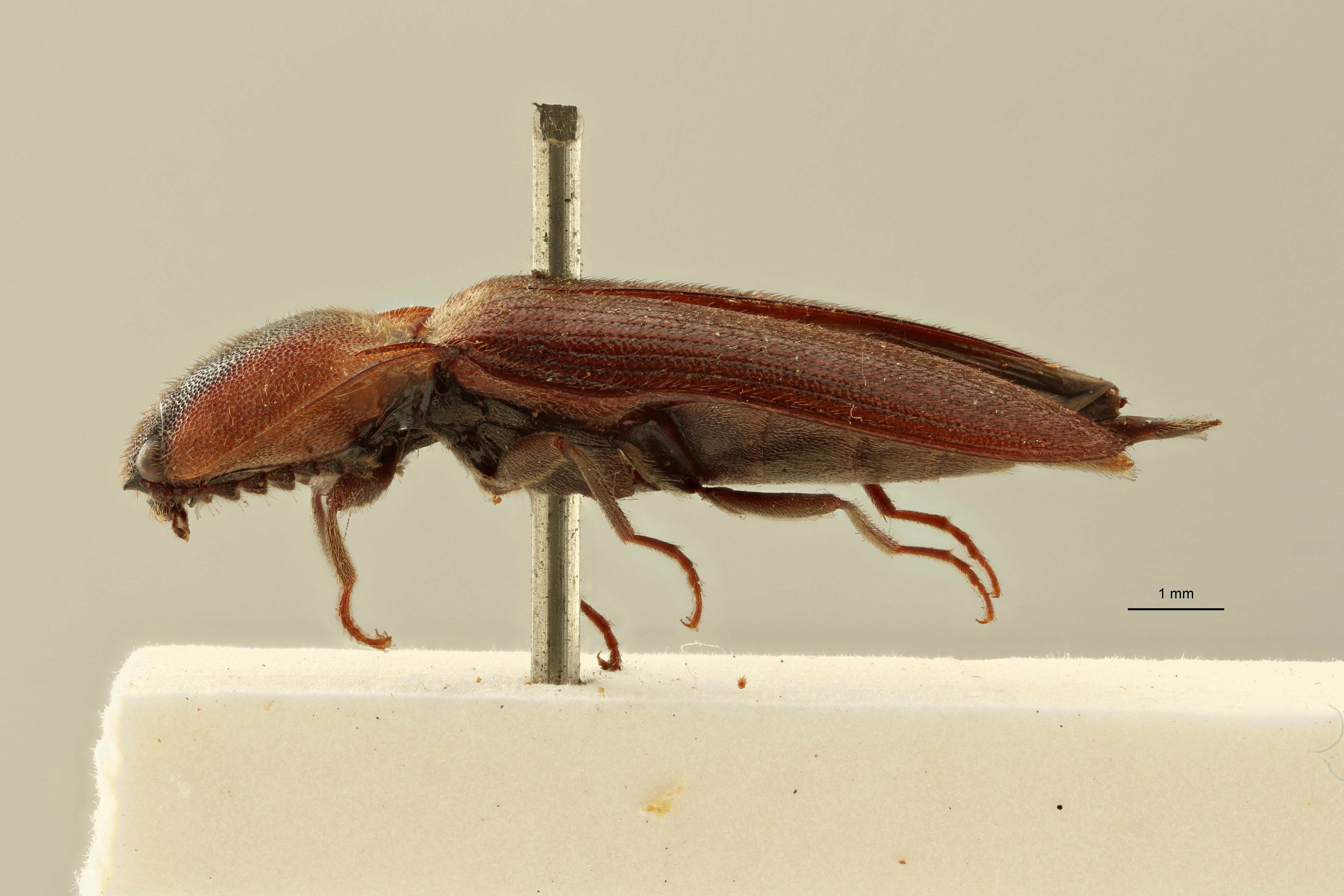 Melanoxanthus dilaticollis t L ZS PMax Scaled.jpeg