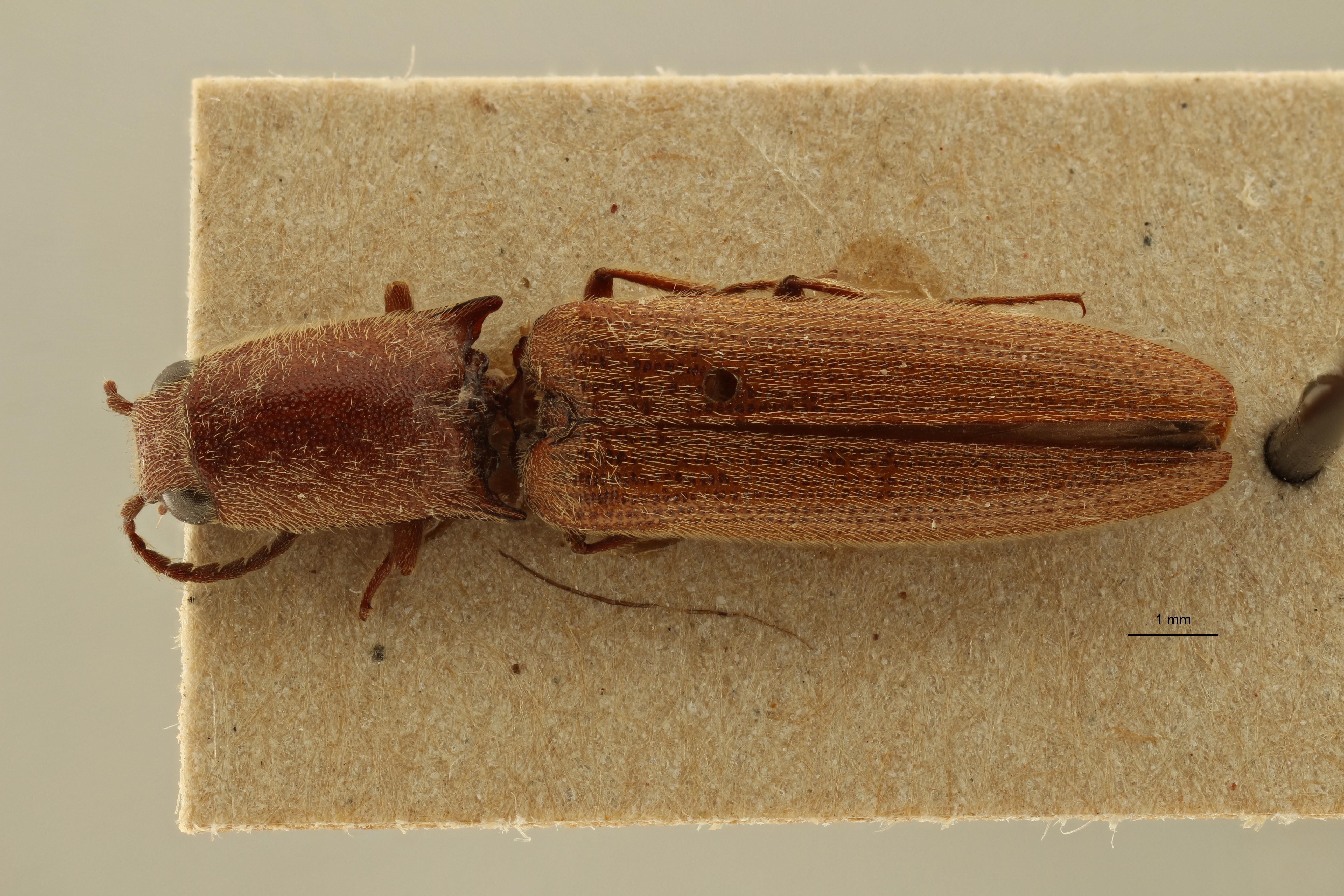 Preusselater gracilis t D ZS PMax Scaled.jpeg