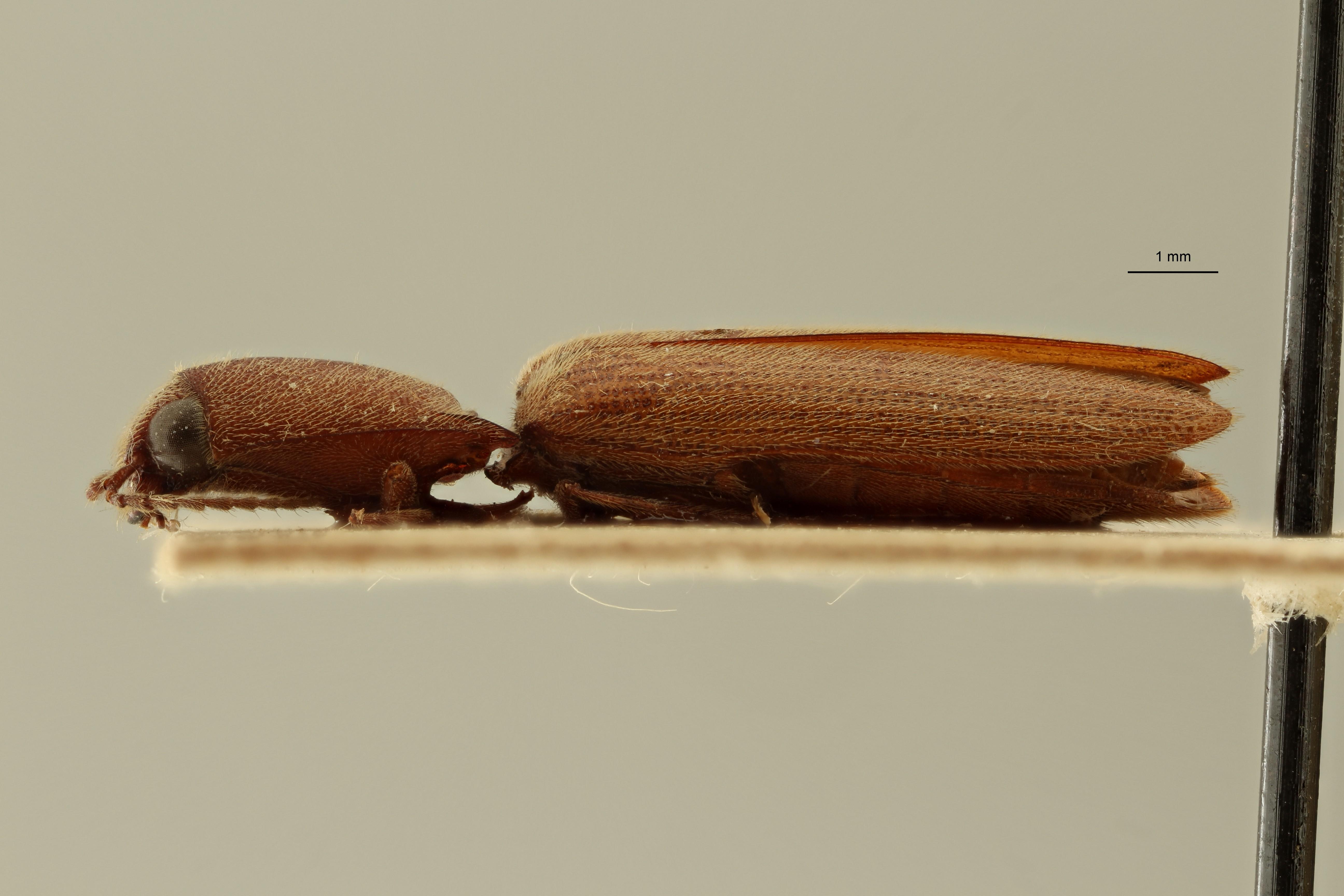 Preusselater gracilis t L2 ZS PMax Scaled.jpeg