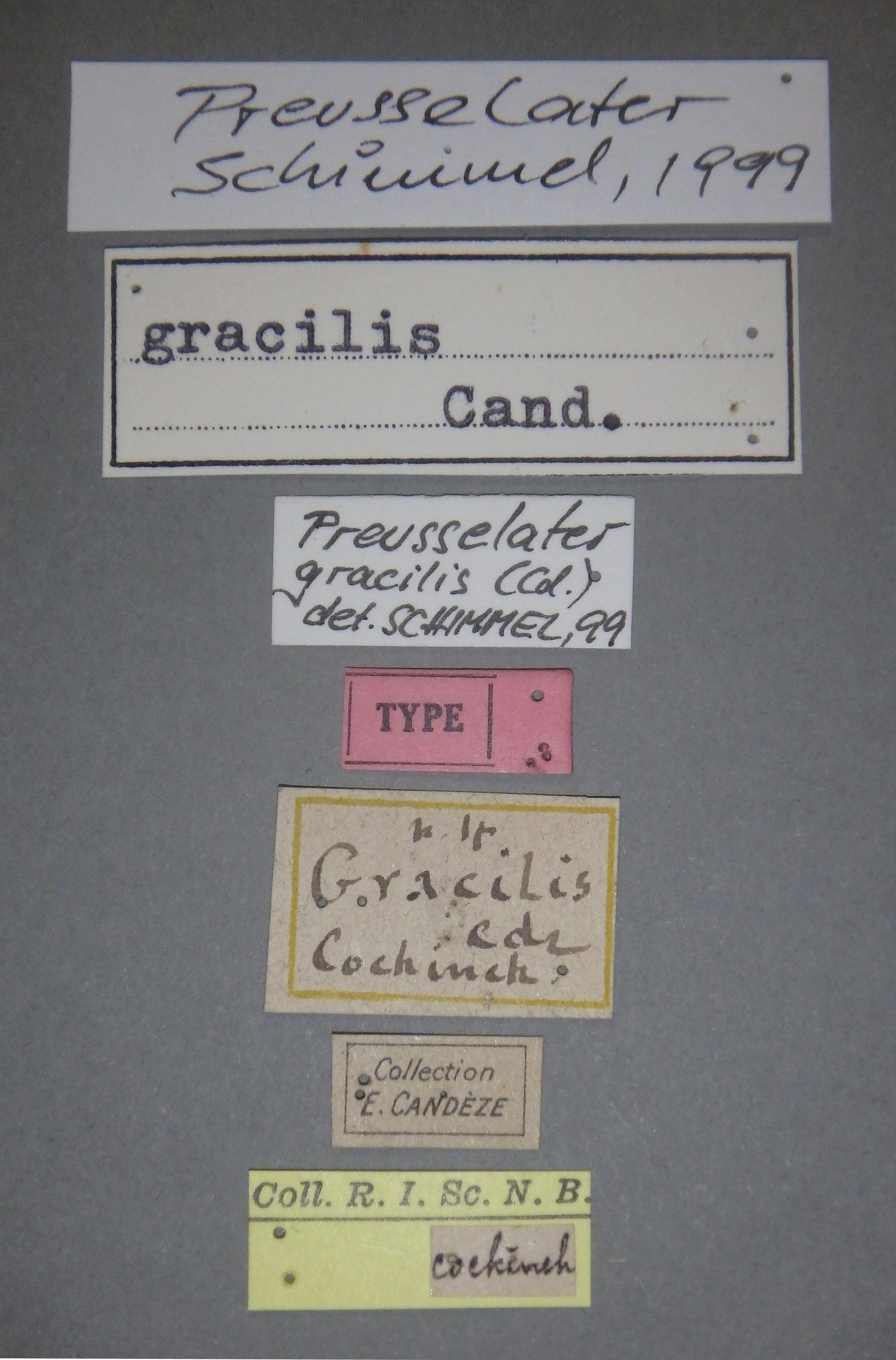 Preusselater gracilis t Lb.JPG